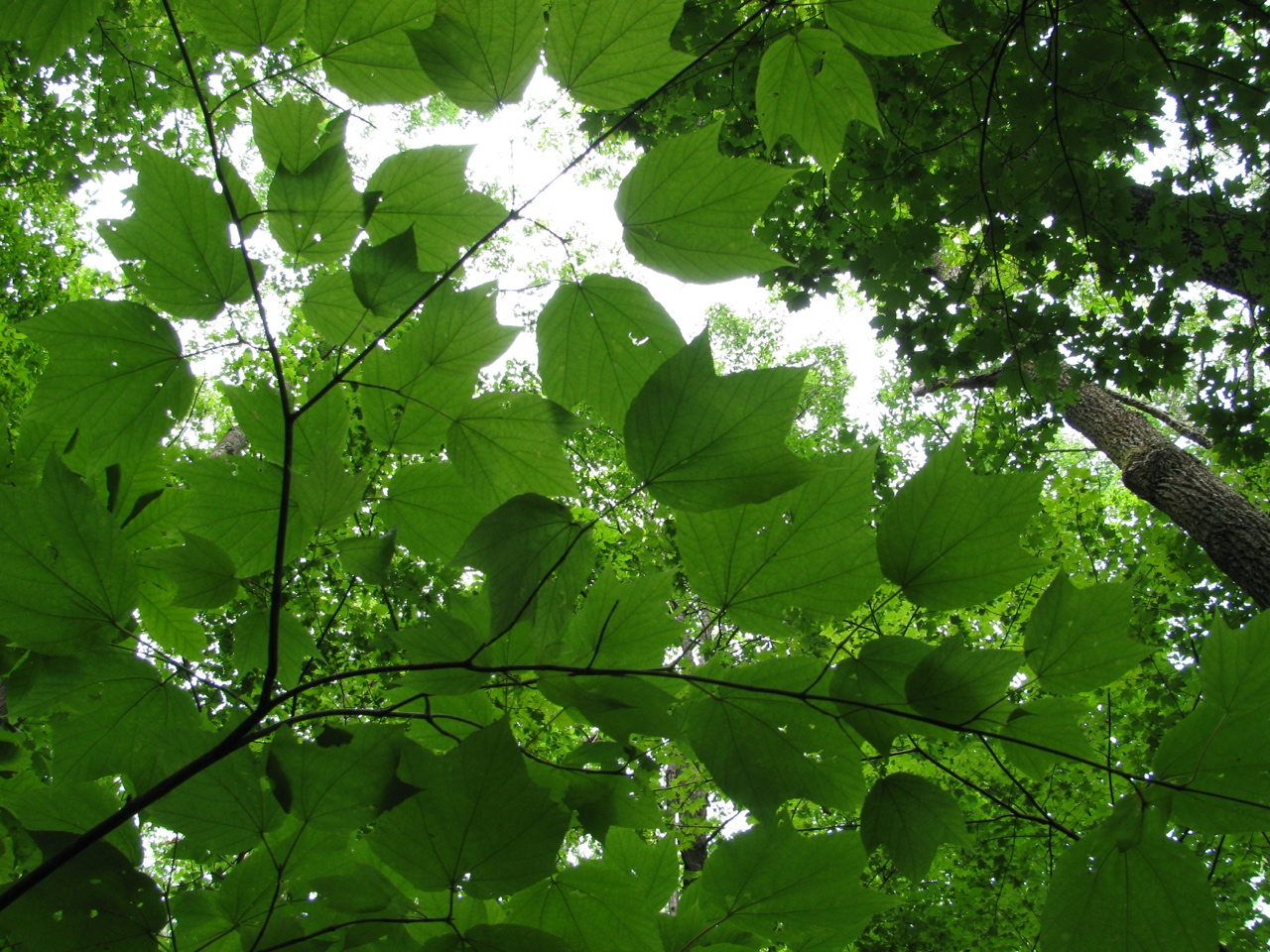 The Scientific Name is Acer pensylvanicum. You will likely hear them called Striped Maple, Moosewood, Whistlewood, Goosefoot Maple. This picture shows the  of Acer pensylvanicum