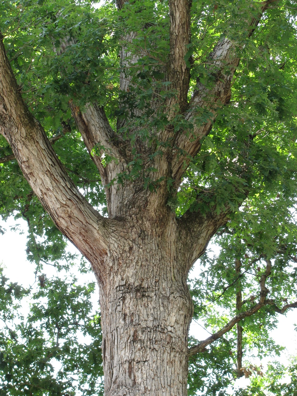 The Scientific Name is Quercus alba. You will likely hear them called White Oak. This picture shows the Distinctive pale gray bark with somewhat loose ends to the narrow vertical plates. of Quercus alba