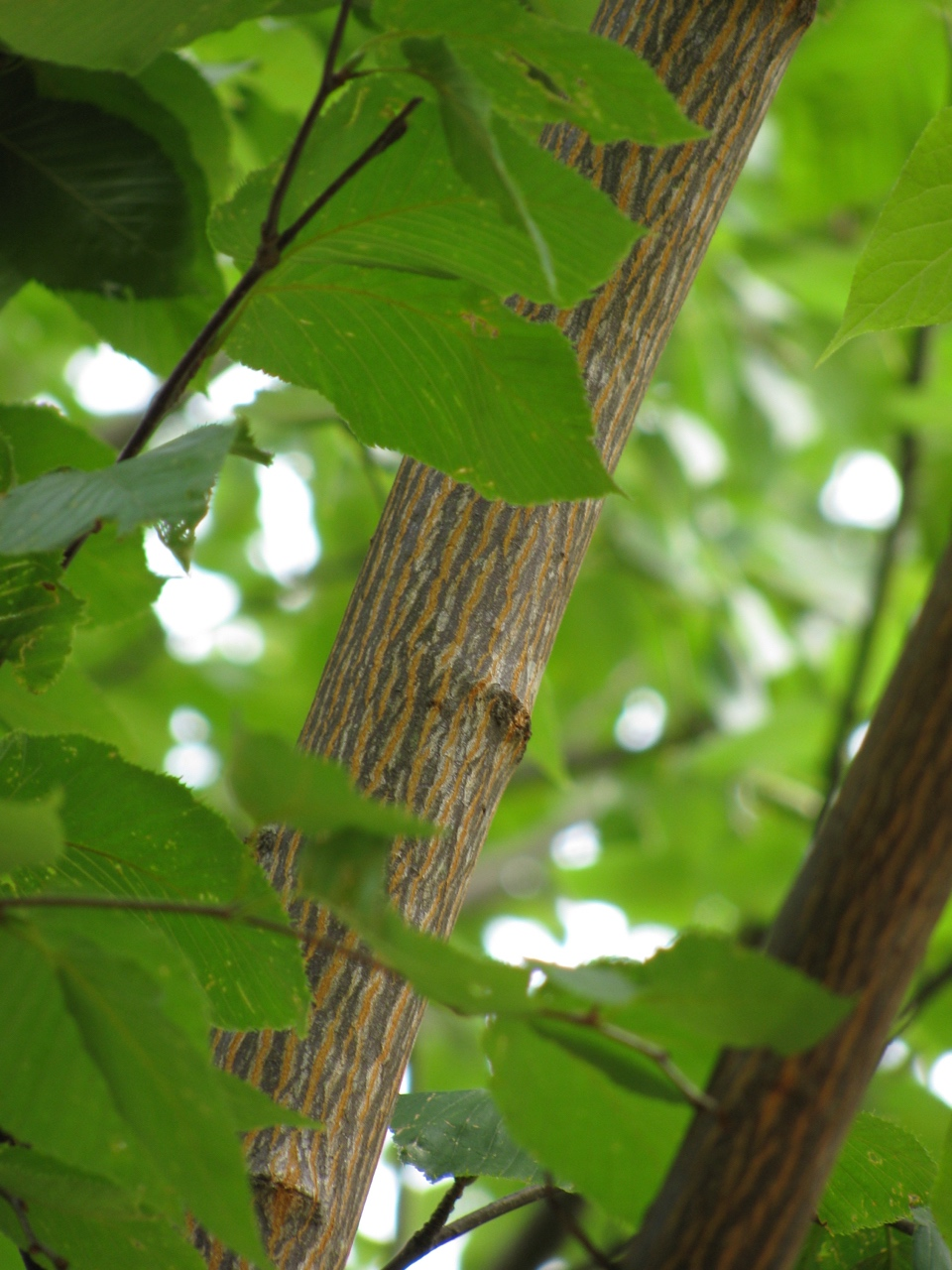 The Scientific Name is Acer pensylvanicum. You will likely hear them called Striped Maple, Moosewood, Whistlewood, Goosefoot Maple. This picture shows the Striped bark. of Acer pensylvanicum