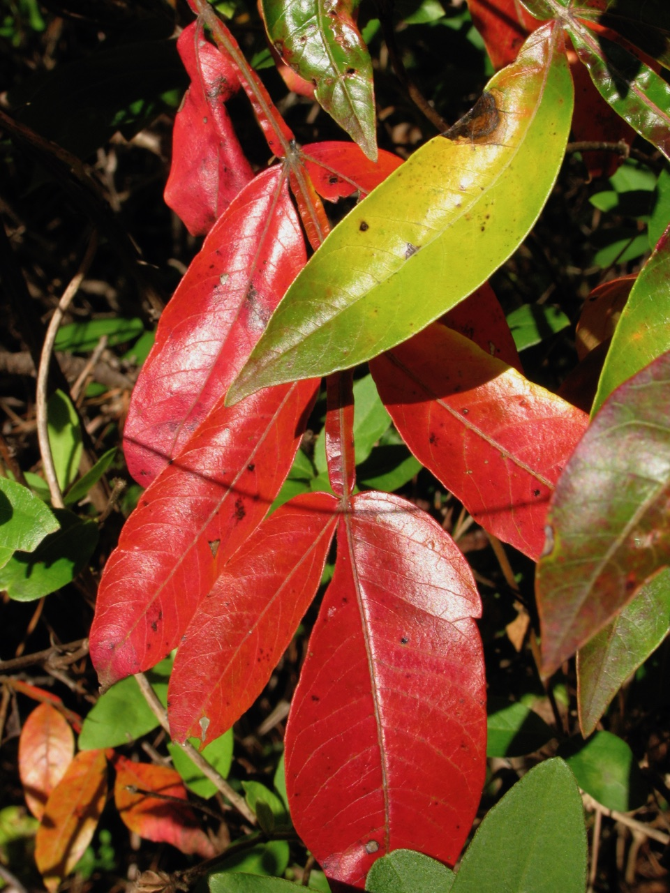 The Scientific Name is Rhus copallinum [= Rhus copallina]. You will likely hear them called Winged Sumac, Shining Sumac, Flameleaf Sumac, Dwarf Sumac. This picture shows the Leaves are very shiny, unlike any other sumac of Rhus copallinum [= Rhus copallina]