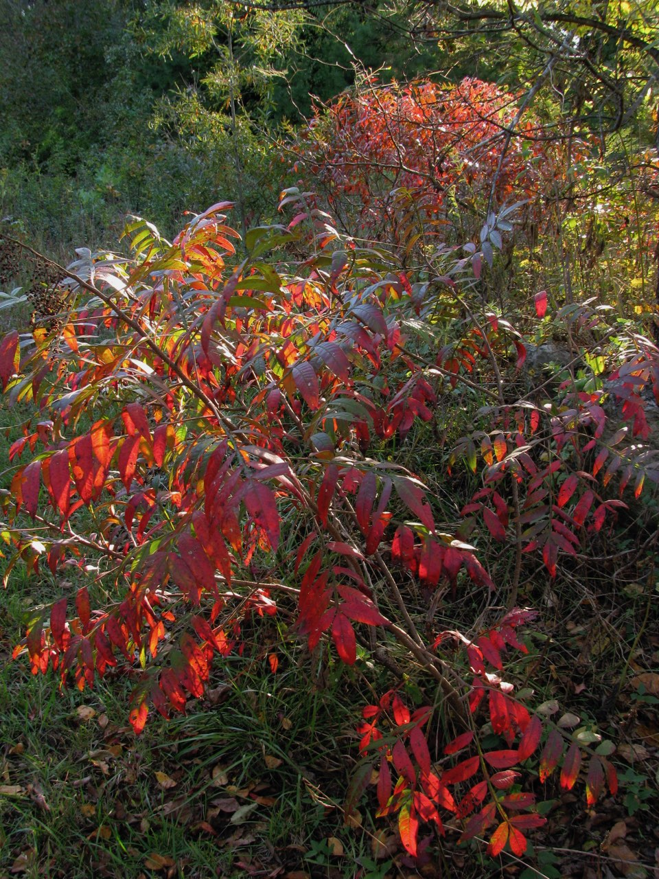 The Scientific Name is Rhus copallinum [= Rhus copallina]. You will likely hear them called Winged Sumac, Shining Sumac, Flameleaf Sumac, Dwarf Sumac. This picture shows the Shrub in the Fall of Rhus copallinum [= Rhus copallina]
