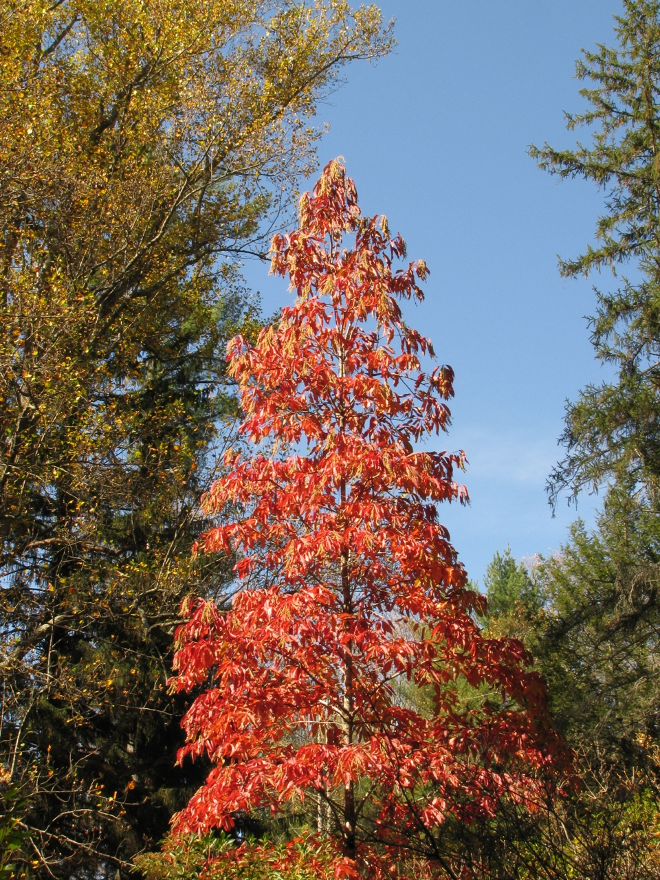The Scientific Name is Oxydendrum arboreum. You will likely hear them called Sourwood, Sorrel-tree. This picture shows the Spectacular Fall color of Oxydendrum arboreum