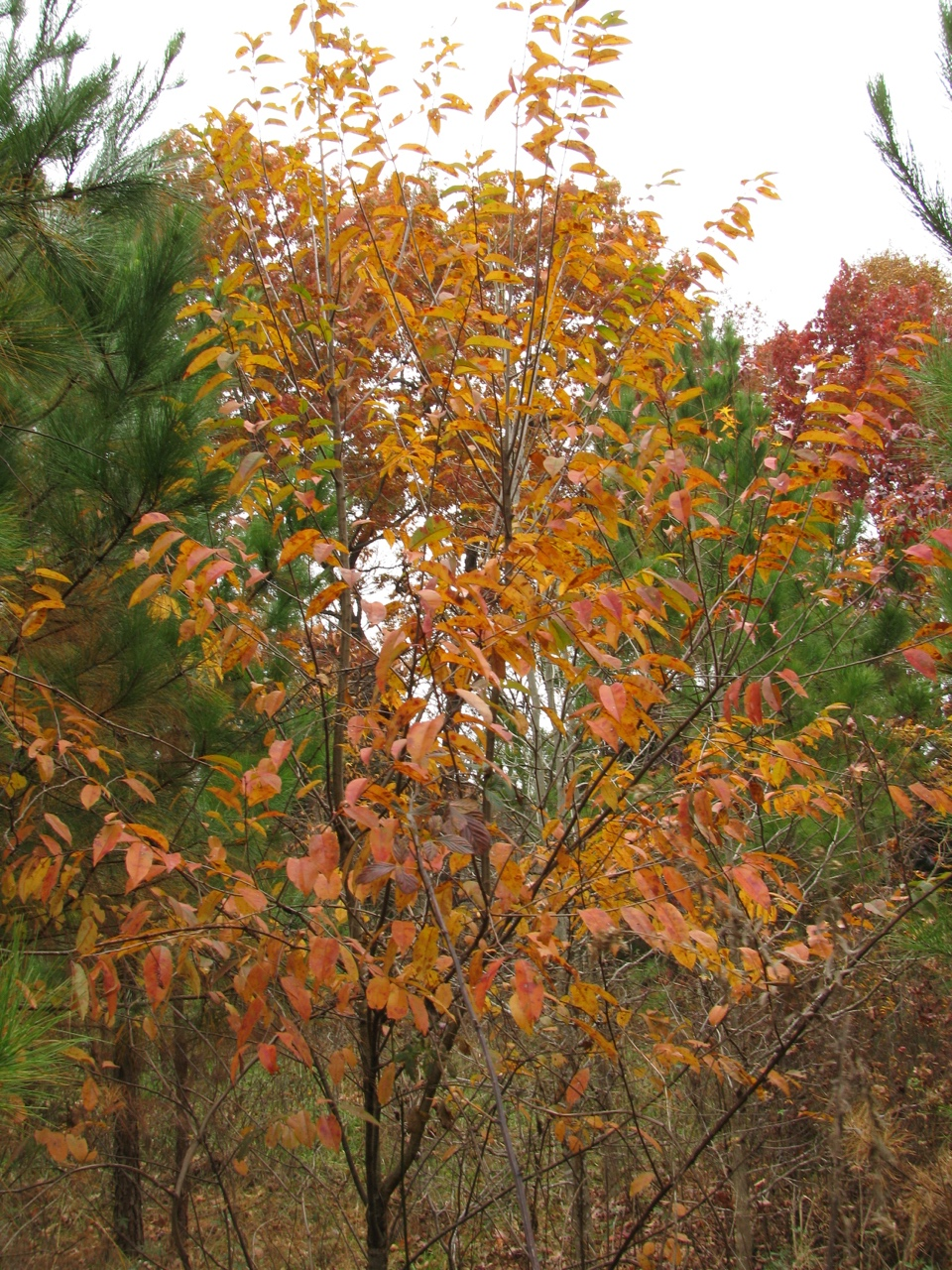 The Scientific Name is Diospyros virginiana. You will likely hear them called Persimmon, Possum Apple, Possumwood. This picture shows the Nice fall color of Diospyros virginiana