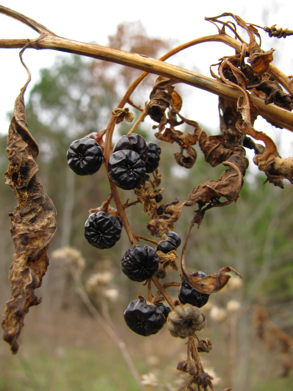 The Scientific Name is Phytolacca americana. You will likely hear them called Pokeweed, American Pokeweed, Great Pokeweed, Pokeberry, Red Ink Plant, Pigeonberry. This picture shows the Senesced plant with remaining berries in November of Phytolacca americana