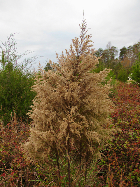 The Scientific Name is Eupatorium capillifolium. You will likely hear them called Dog-fennel. This picture shows the Later in the Fall when fruits have matured of Eupatorium capillifolium