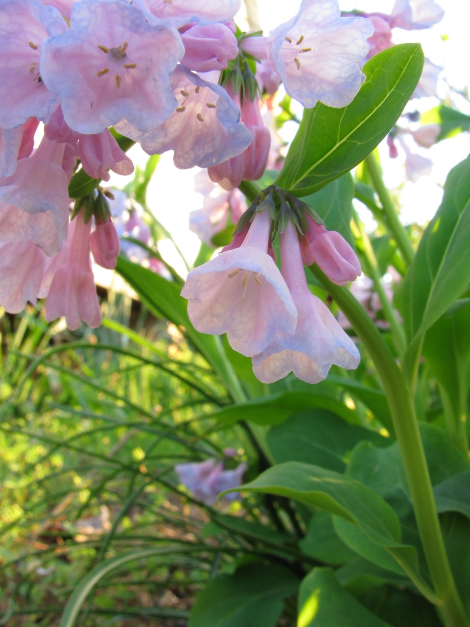 The Scientific Name is Mertensia virginica. You will likely hear them called Virginia Bluebells, Virginia Cowslip. This picture shows the This particular year, the flowers were mostly pink of Mertensia virginica