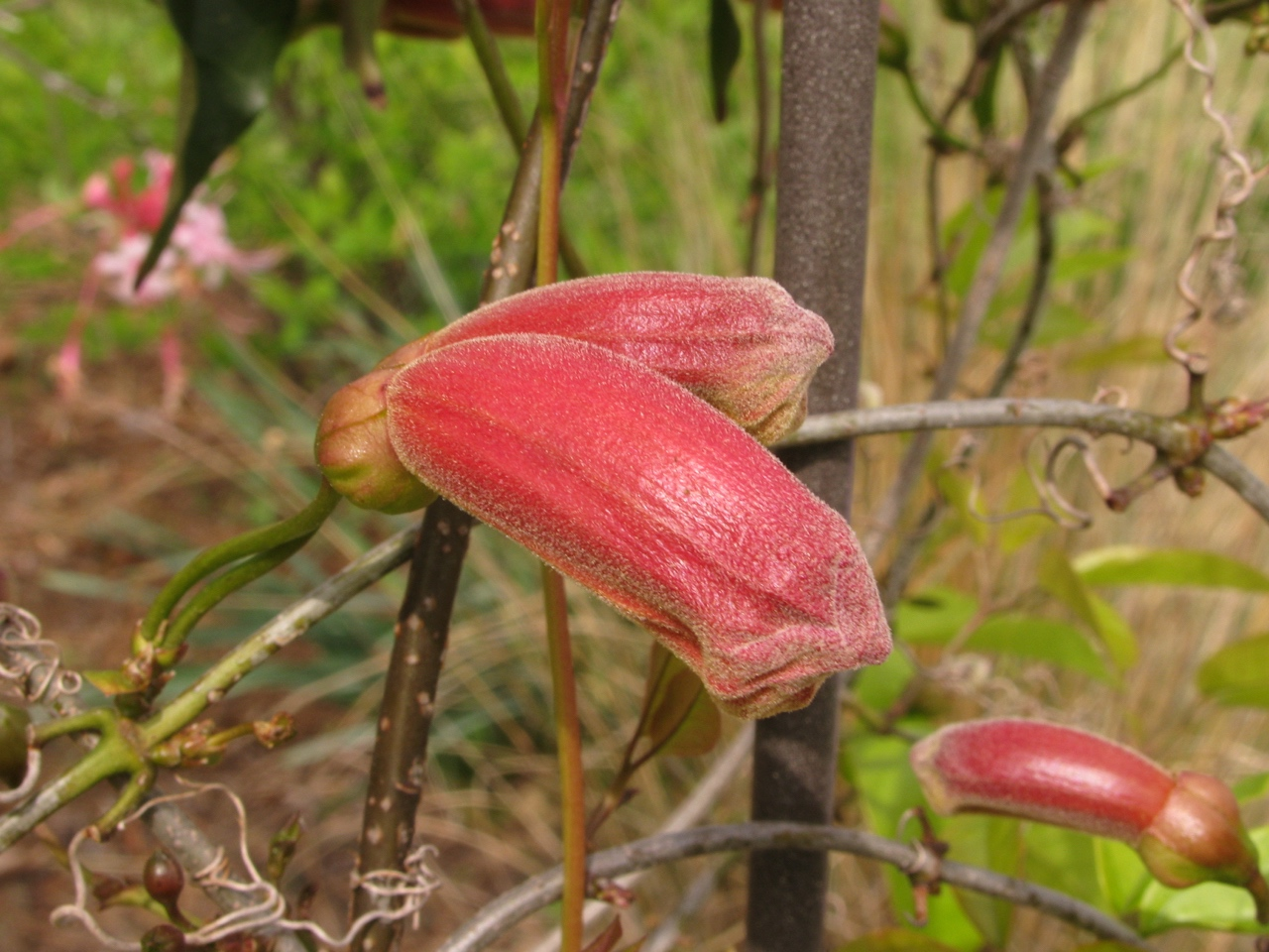 The Scientific Name is Bignonia capreolata. You will likely hear them called Crossvine. This picture shows the Flower buds ready to open of Bignonia capreolata