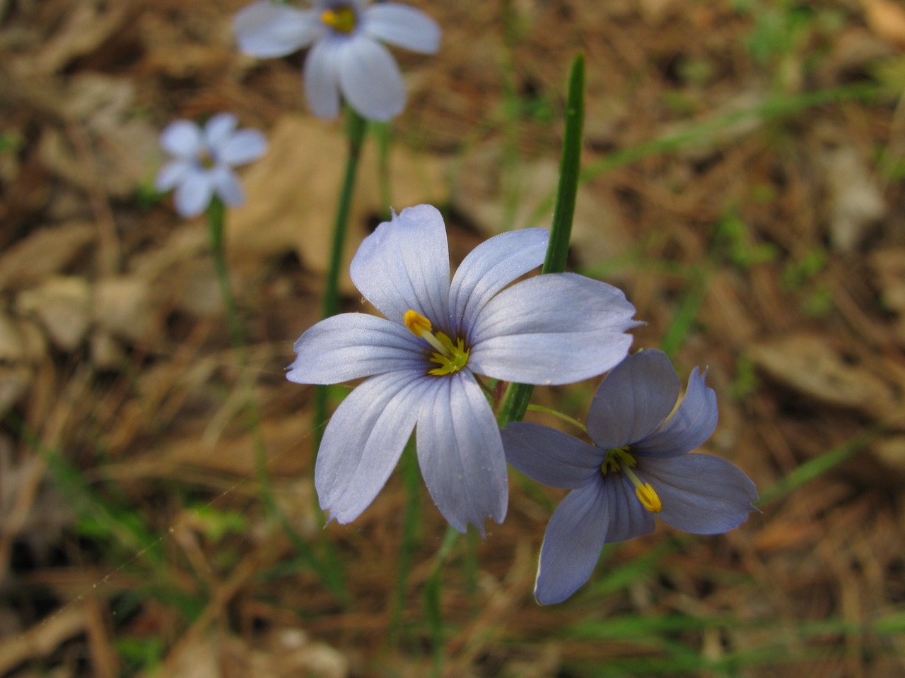 The Scientific Name is Sisyrinchium angustifolium. You will likely hear them called Narrowleaf Blue-eyed grass. This picture shows the Usually one to two flowers on the distally branched inflorescence and long flower pedicels of Sisyrinchium angustifolium