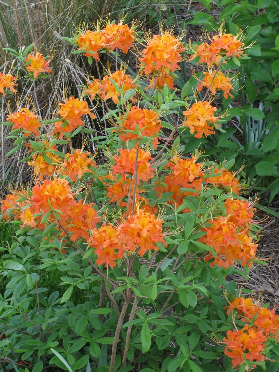 The Scientific Name is Rhododendron calendulaceum. You will likely hear them called Flame Azalea. This picture shows the Young shrub in full bloom in early May of Rhododendron calendulaceum