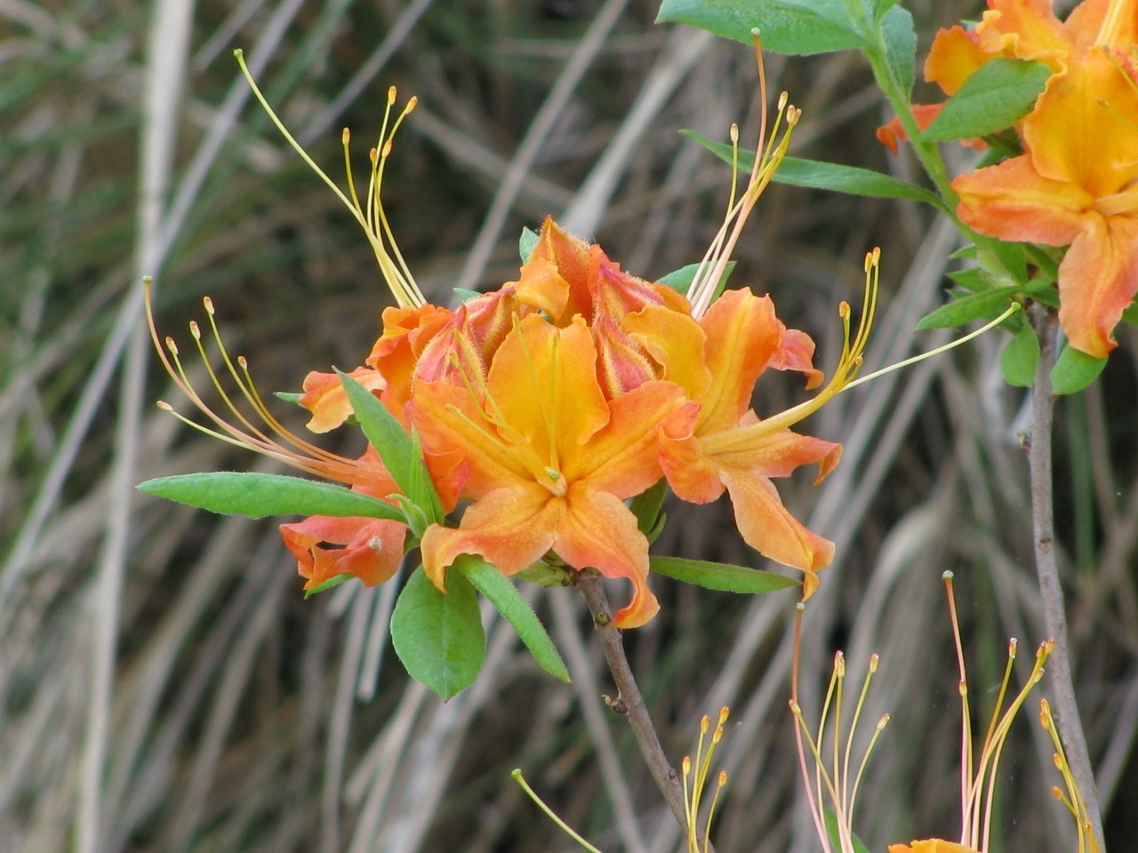 The Scientific Name is Rhododendron calendulaceum. You will likely hear them called Flame Azalea. This picture shows the Flowers opening as new leaves are emerging of Rhododendron calendulaceum