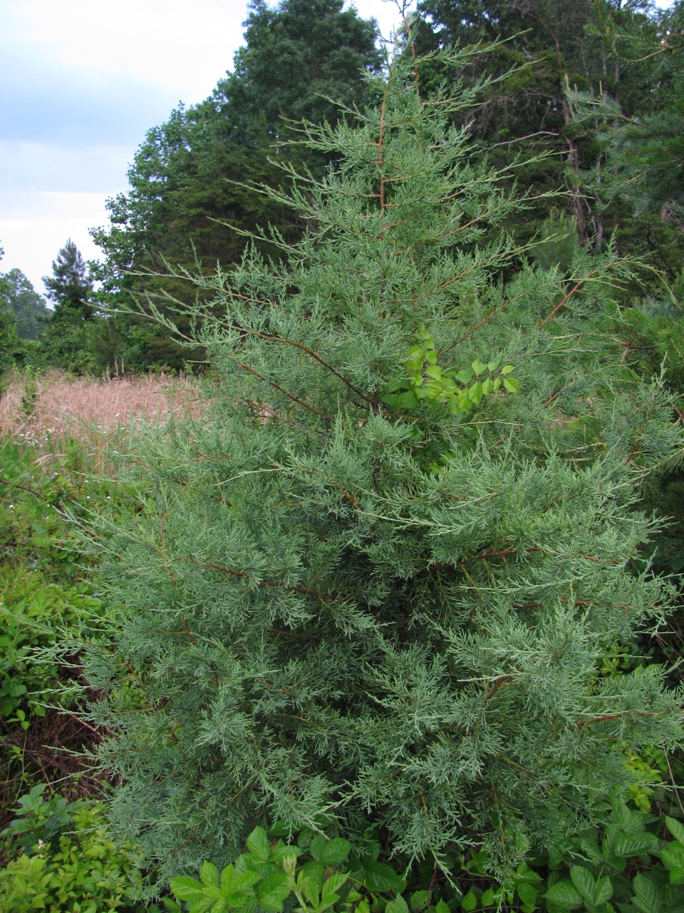 The Scientific Name is Juniperus virginiana. You will likely hear them called Eastern Red Cedar. This picture shows the Young tree with blue-green color. The color varies with some specimens being more green. of Juniperus virginiana