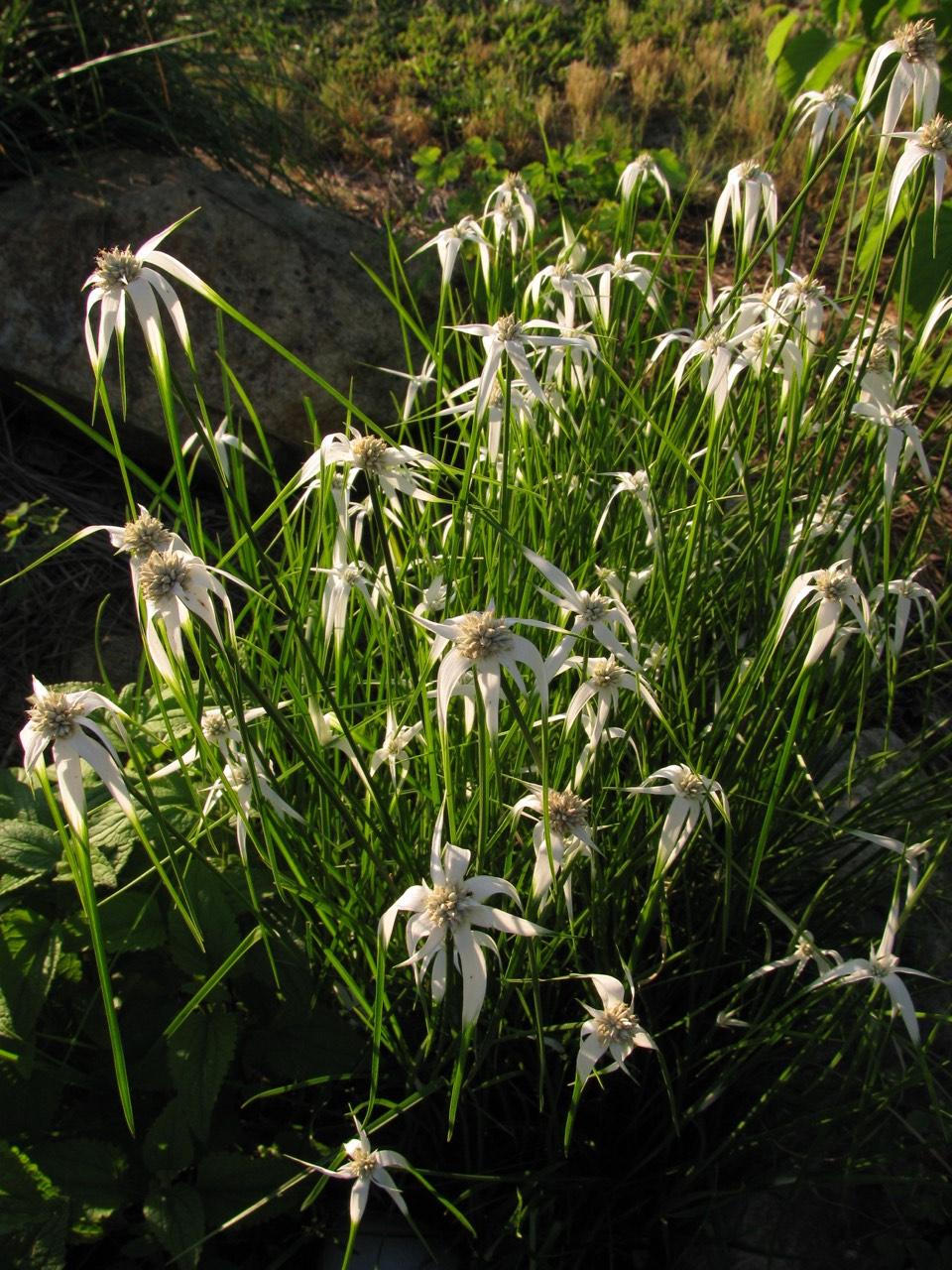 The Scientific Name is Rhynchospora colorata [= Dichromena colorata]. You will likely hear them called Narrowleaf White-topped Sedge, White-top Sedge, Star Rush, Star Sedge. This picture shows the Growing in a bog garden of Rhynchospora colorata [= Dichromena colorata]