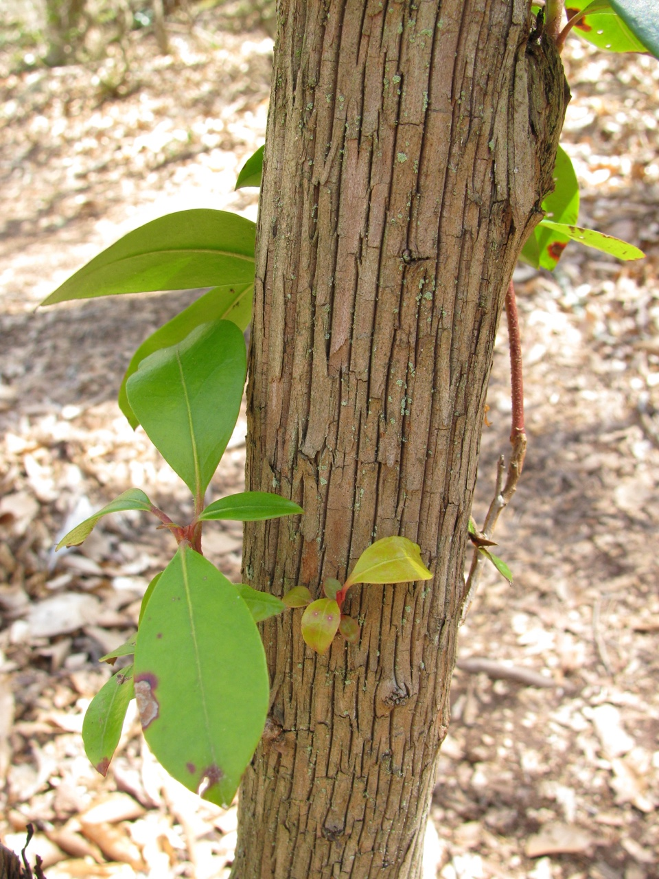 The Scientific Name is Kalmia latifolia. You will likely hear them called Mountain Laurel, Ivy, Calico-bush. This picture shows the The bark is thin, lightly ridged and furrowed, often splitting and shedding. of Kalmia latifolia