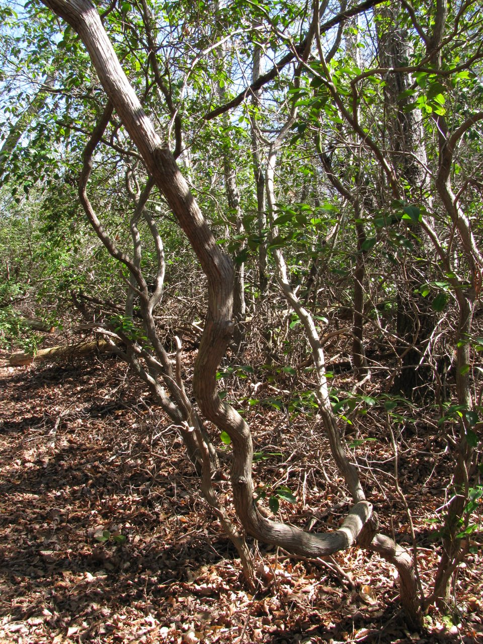 The Scientific Name is Kalmia latifolia. You will likely hear them called Mountain Laurel, Ivy, Calico-bush. This picture shows the Characteristic gnarled and twisted trunks of Kalmia latifolia