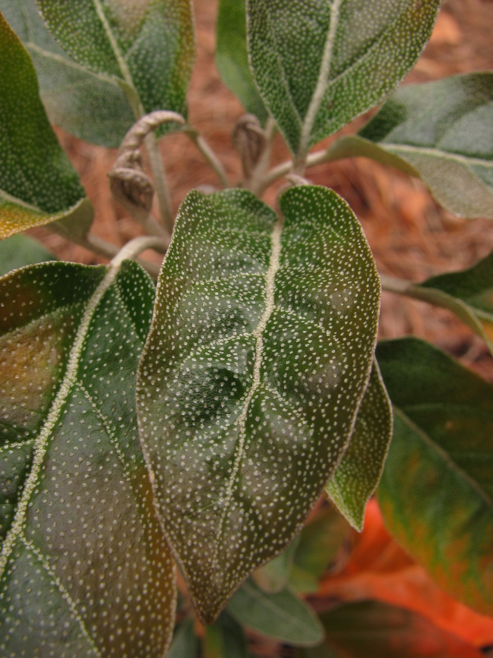 The Scientific Name is Croton alabamensis var. alabamensis. You will likely hear them called Alabama Croton. This picture shows the Close-up of leaves showing silvery scales. More numerous scales are on the underside of the leaves creating a silvery sheen of Croton alabamensis var. alabamensis