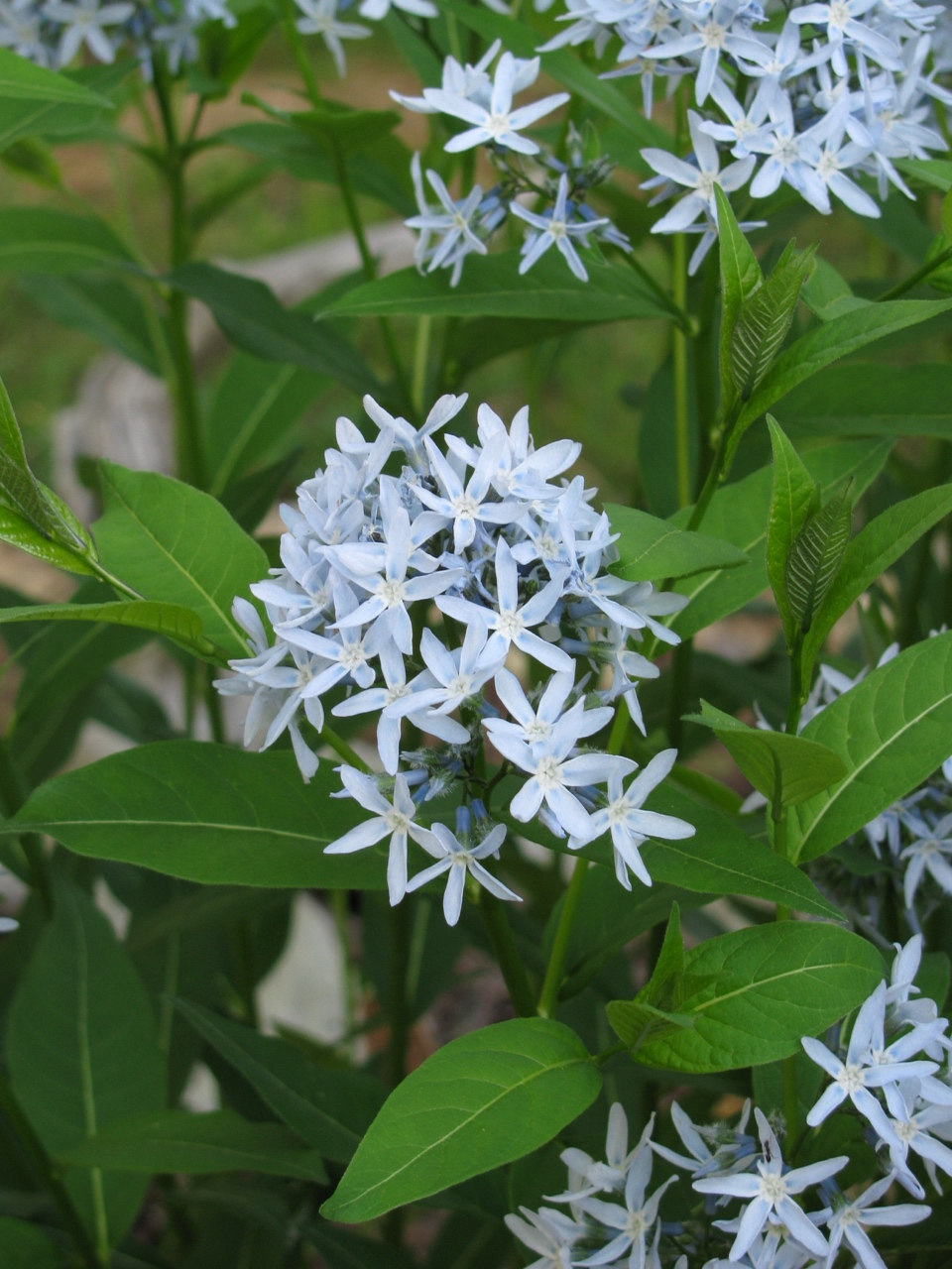 The Scientific Name is Amsonia tabernaemontana. You will likely hear them called Bluestar, Blue Dogbane, Willow Amsonia. This picture shows the Flowers in April-May of Amsonia tabernaemontana