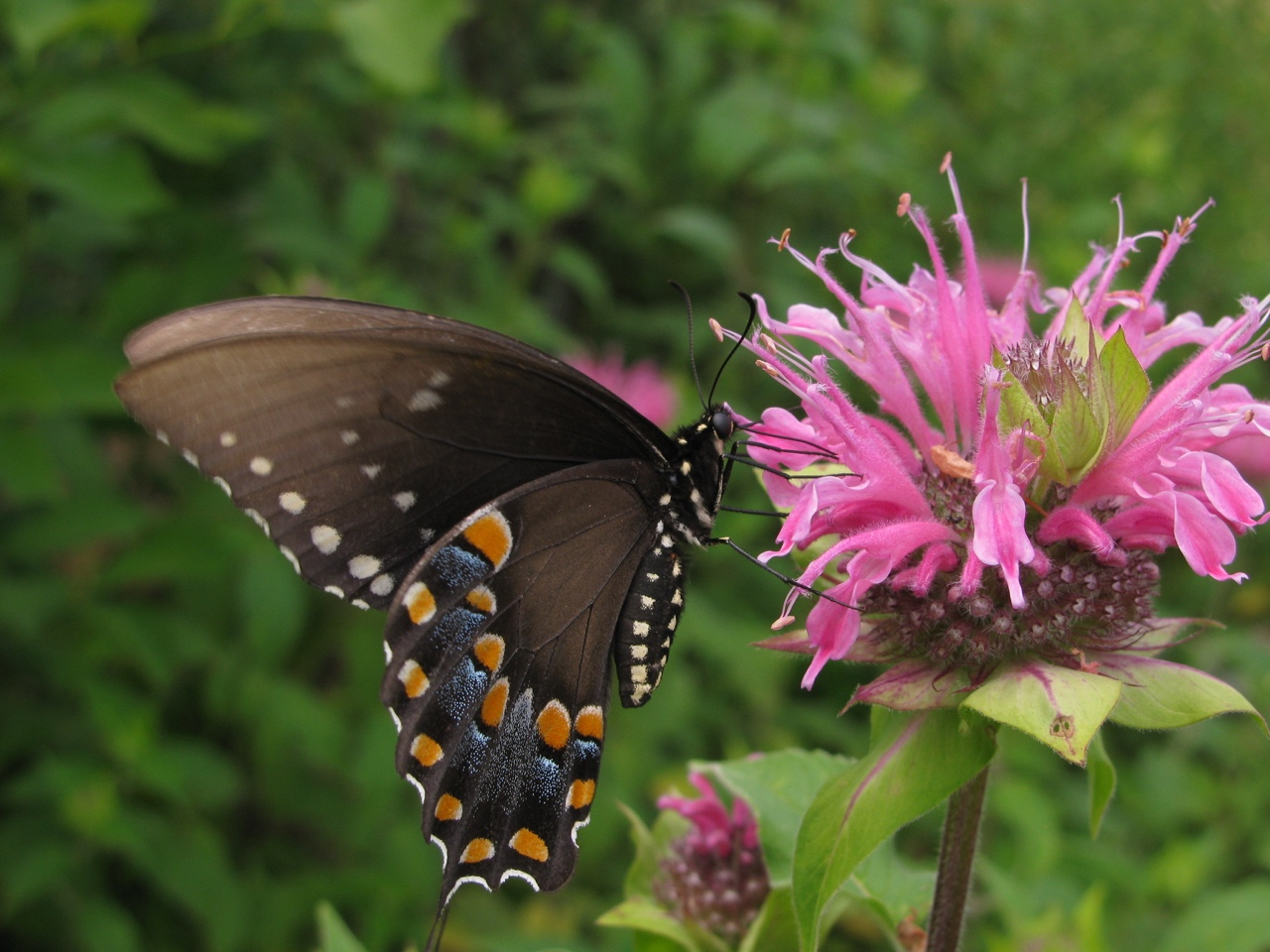 The Scientific Name is Monarda fistulosa. You will likely hear them called Wild Bergamot. This picture shows the Close-up of flower head being visited ba a Black Swallowtail butterfly of Monarda fistulosa