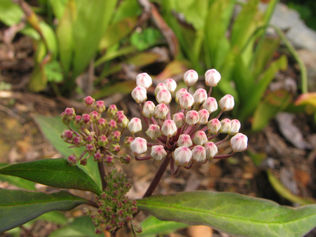 The Scientific Name is Asclepias perennis. You will likely hear them called Aquatic Milkweed, White Swamp Milkweed, White Milkweed. This picture shows the Tips of the corolla can sometimes be tinged with pink and you can easily see this in the unopened flower buds. of Asclepias perennis
