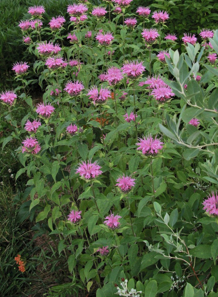 The Scientific Name is Monarda fistulosa. You will likely hear them called Wild Bergamot. This picture shows the Plant grouping of Monarda fistulosa