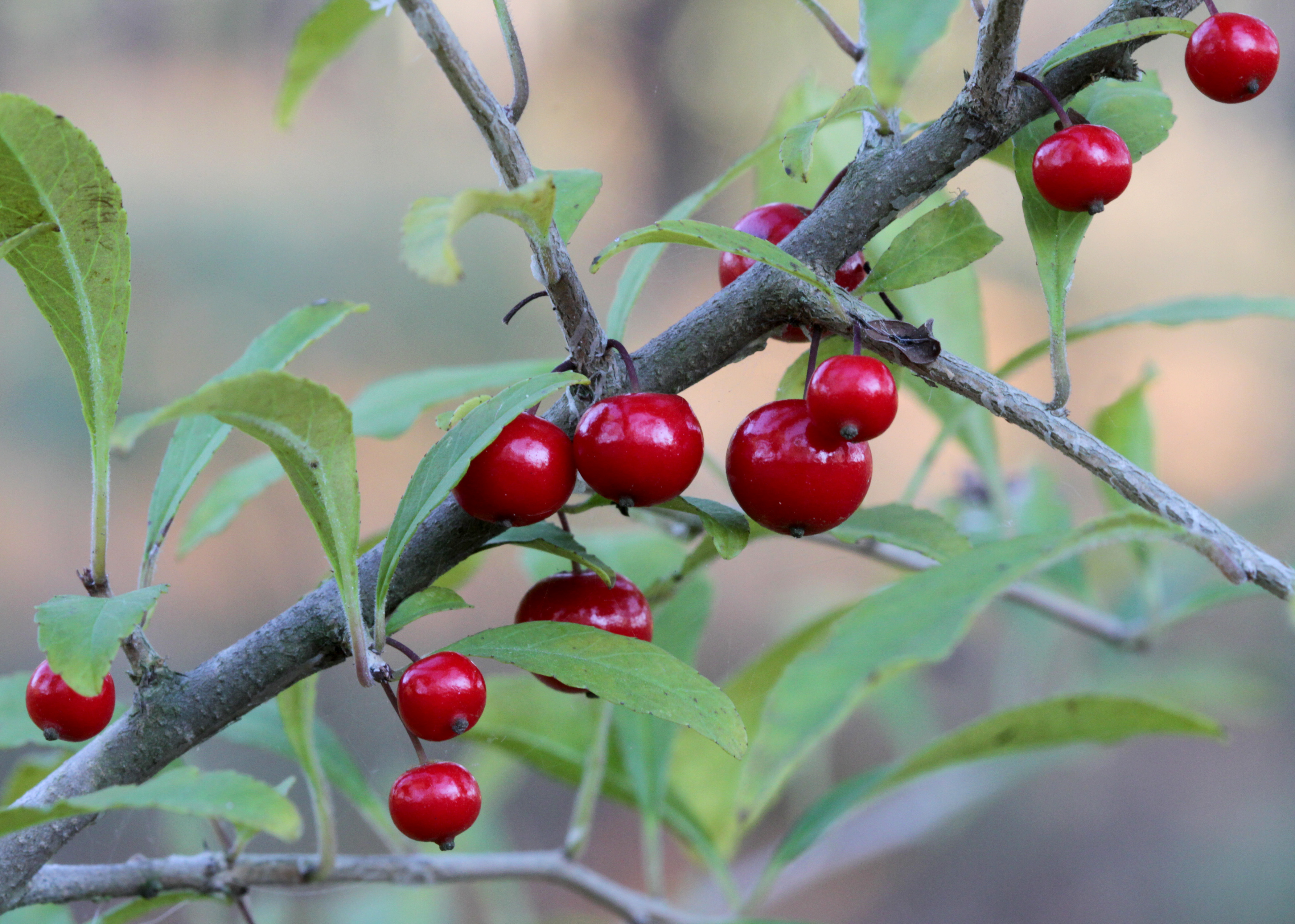 The Scientific Name is Ilex decidua var. decidua. You will likely hear them called Possumhaw Holly, Possum-haw. This picture shows the Fruits are shiny red drupes, round, 6-8 mm in diameter on pedicels 2 - 6 mm long. of Ilex decidua var. decidua
