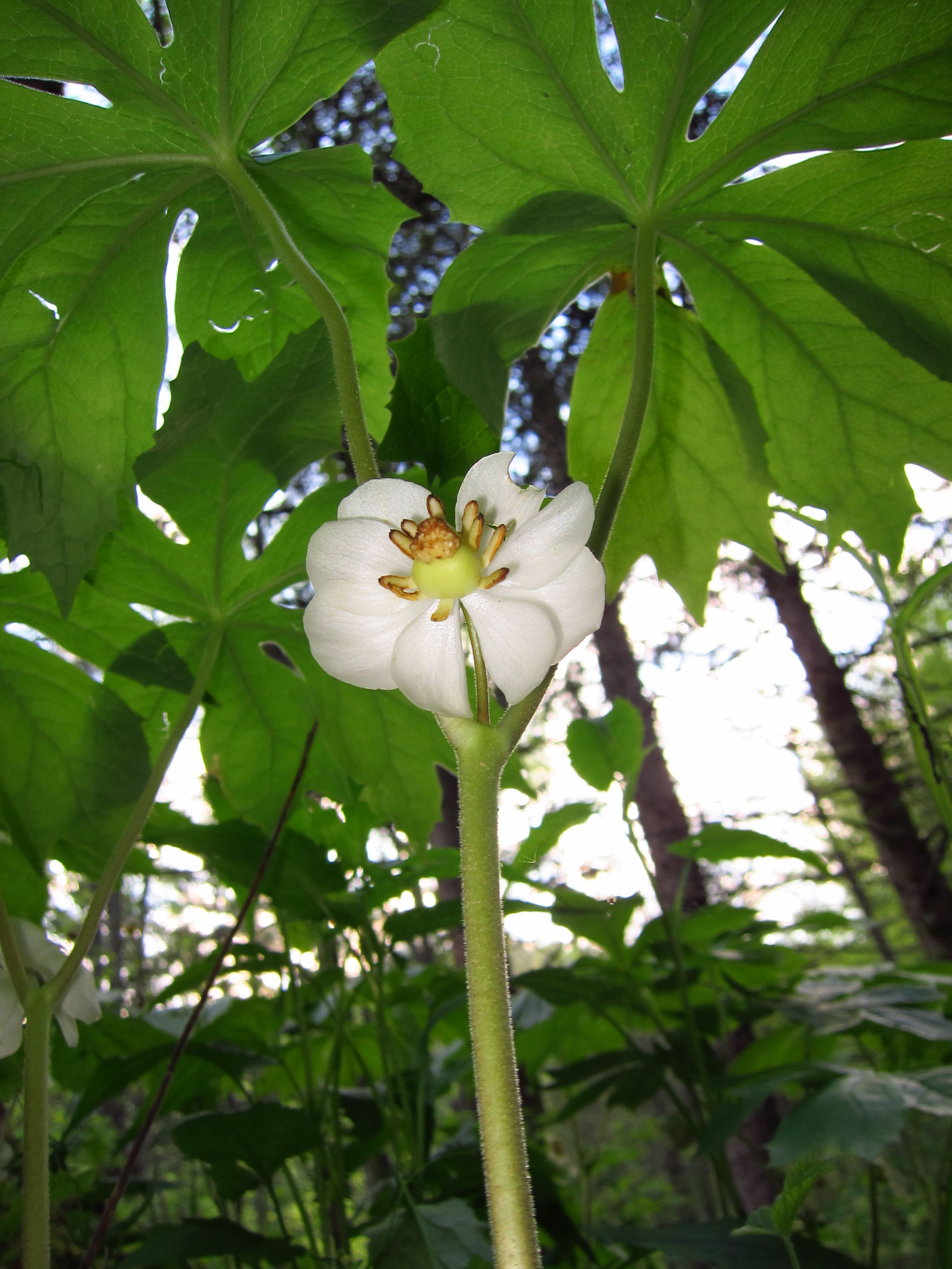The Scientific Name is Podophyllum peltatum. You will likely hear them called Mayapple, May-apple, American Mandrake, Wild Mandrake, Indian Apple, Pomme de Mai, Podophylle Pelt. This picture shows the Beneath the Canopy of Podophyllum peltatum