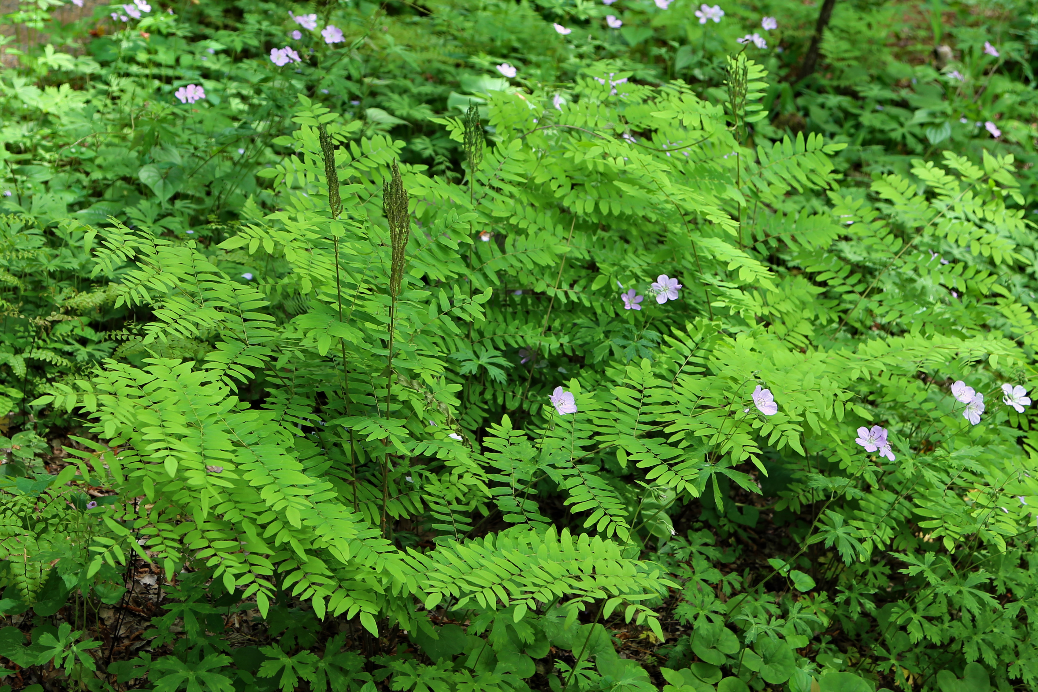 The Scientific Name is Osmunda spectablilis. You will likely hear them called Royal Fern. This picture shows the Royal Fern fronds are dimorphic.  Fertile fronds emerge in mid-spring becoming striking by summer as clusters of sporangia mature. of Osmunda spectablilis