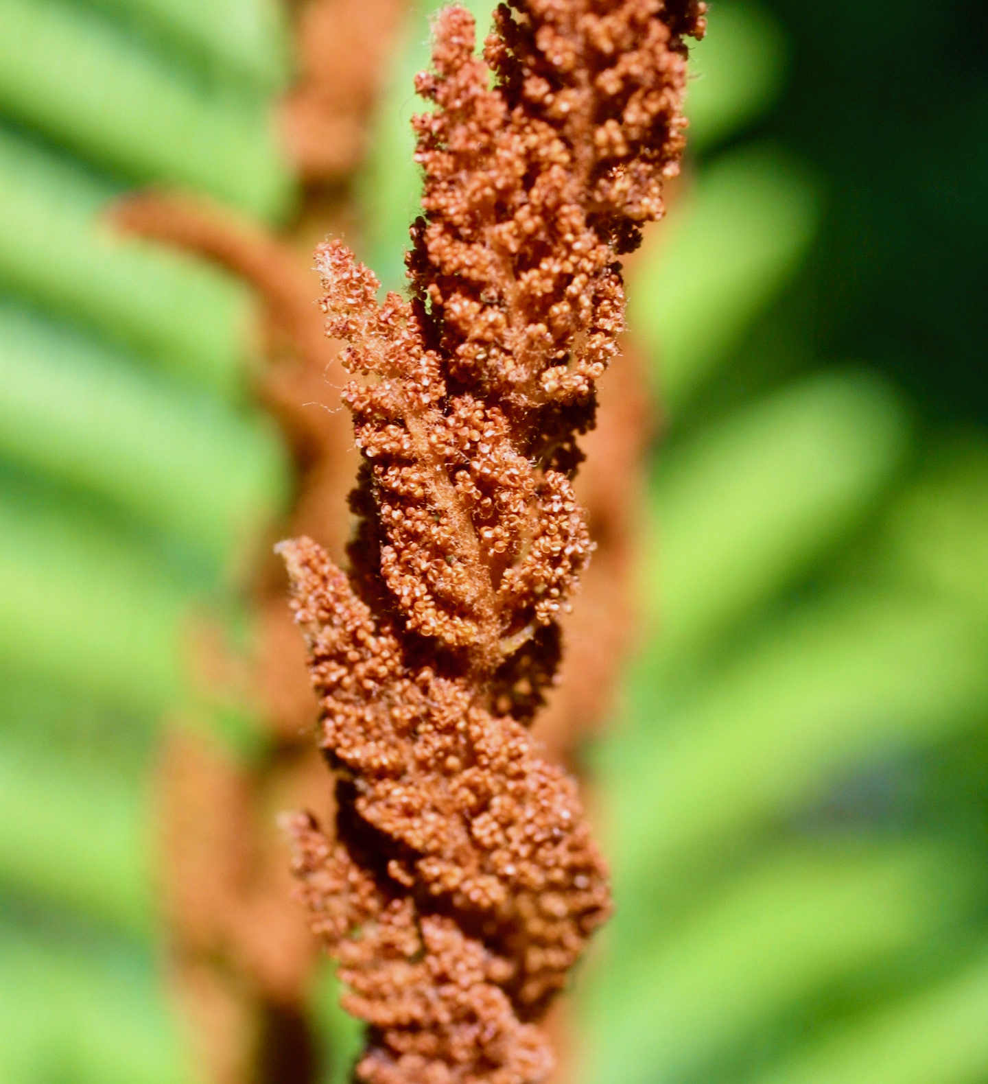 The Scientific Name is Osmundastrum cinnamomeum [=Osmunda cinnamomea]. You will likely hear them called Cinnamon Fern. This picture shows the Fertile pinnae with ripe sporangia of Osmundastrum cinnamomeum [=Osmunda cinnamomea]