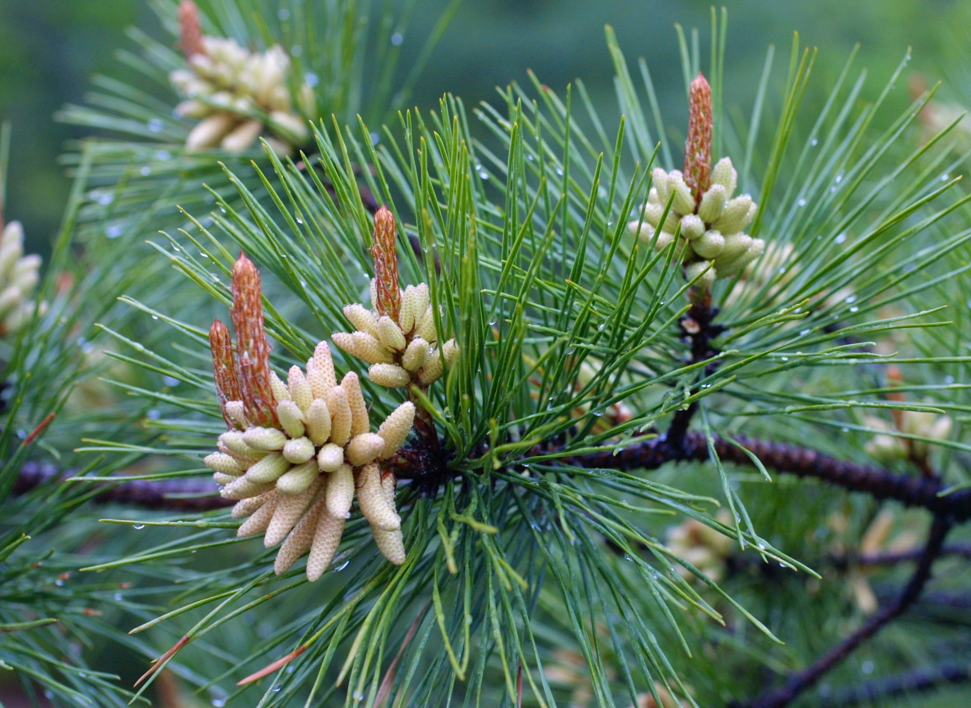 The Scientific Name is Pinus rigida. You will likely hear them called Pitch Pine, Hard Pine. This picture shows the Stout, twisting needles in bundles of 3, with developing male and female cones of Pinus rigida