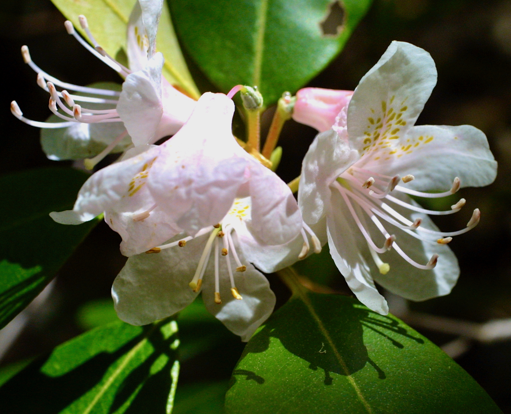 The Scientific Name is Rhododendron carolinianum. You will likely hear them called Carolina Rhododendron, Punctatum. This picture shows the Blooms earlier than Piedmont Rhododendron (R. minus), and has smaller flowers than Rosebay Rhododendron (R. maximum). of Rhododendron carolinianum