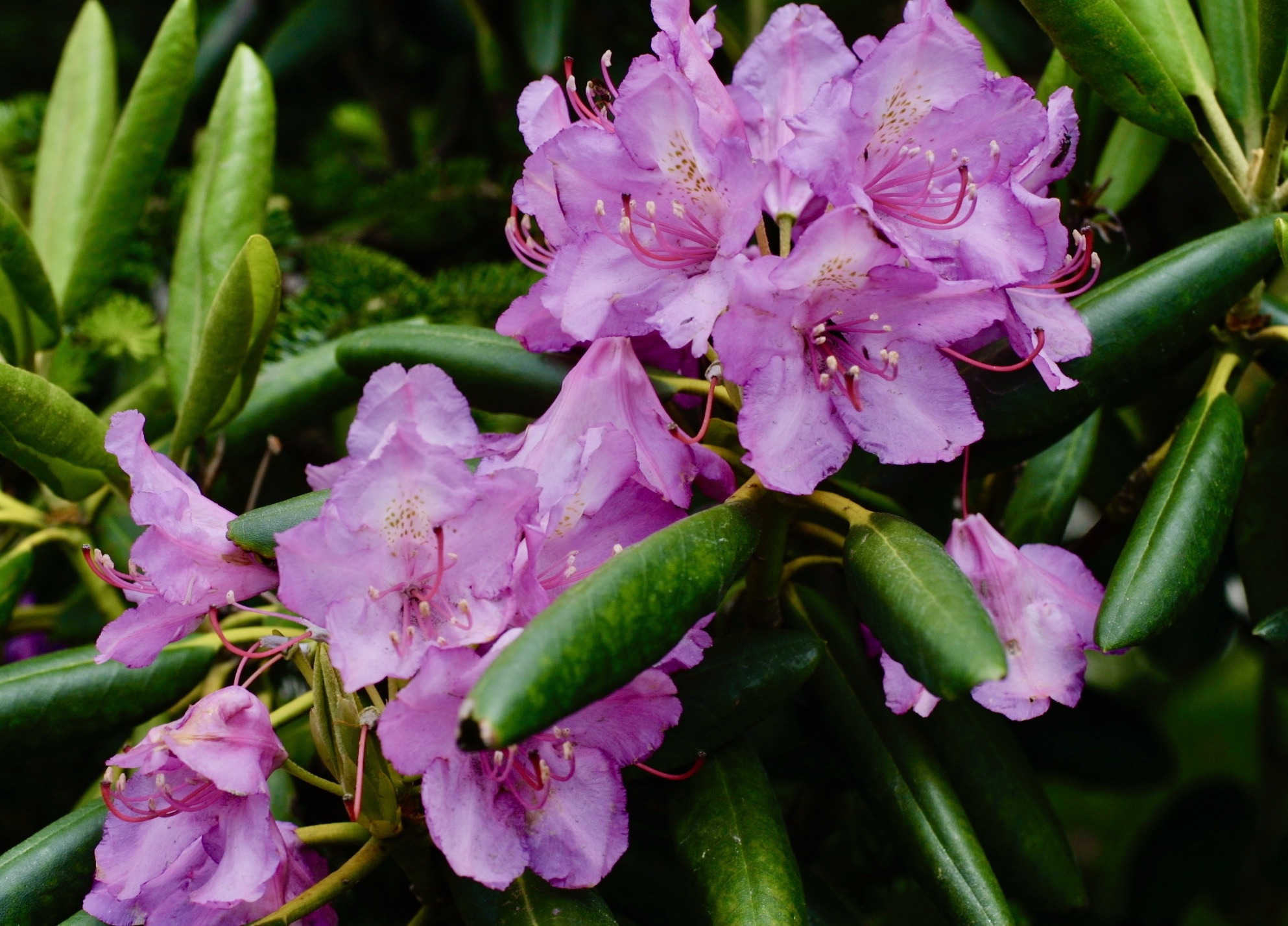 The Scientific Name is Rhododendron catawbiense. You will likely hear them called Catawba Rhododendron, Mountain Rosebay, Catawba Rosebay, Purple Rhododendron, Purple Laurel, Rosebay Laurel, Pink Laurel. This picture shows the Leaves shorter than those of Rhododendron maximum, and somewhat whitish beneath.  of Rhododendron catawbiense