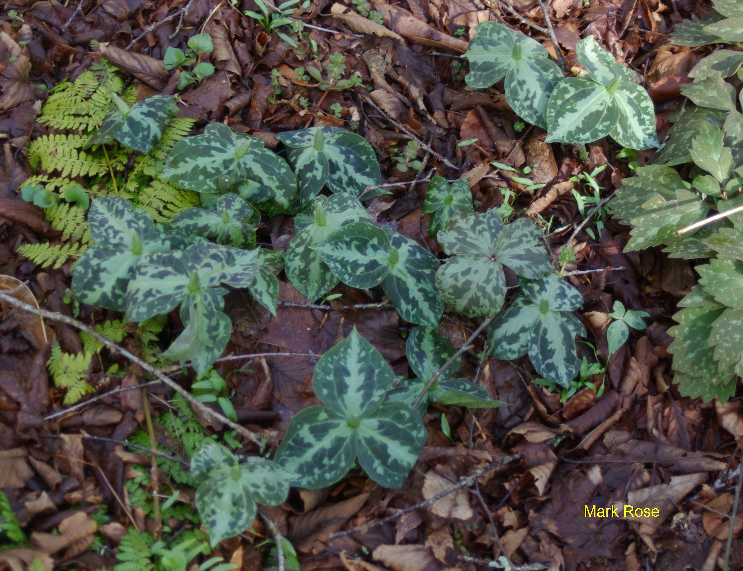 Trillium Pics North Carolina Native Plant Society