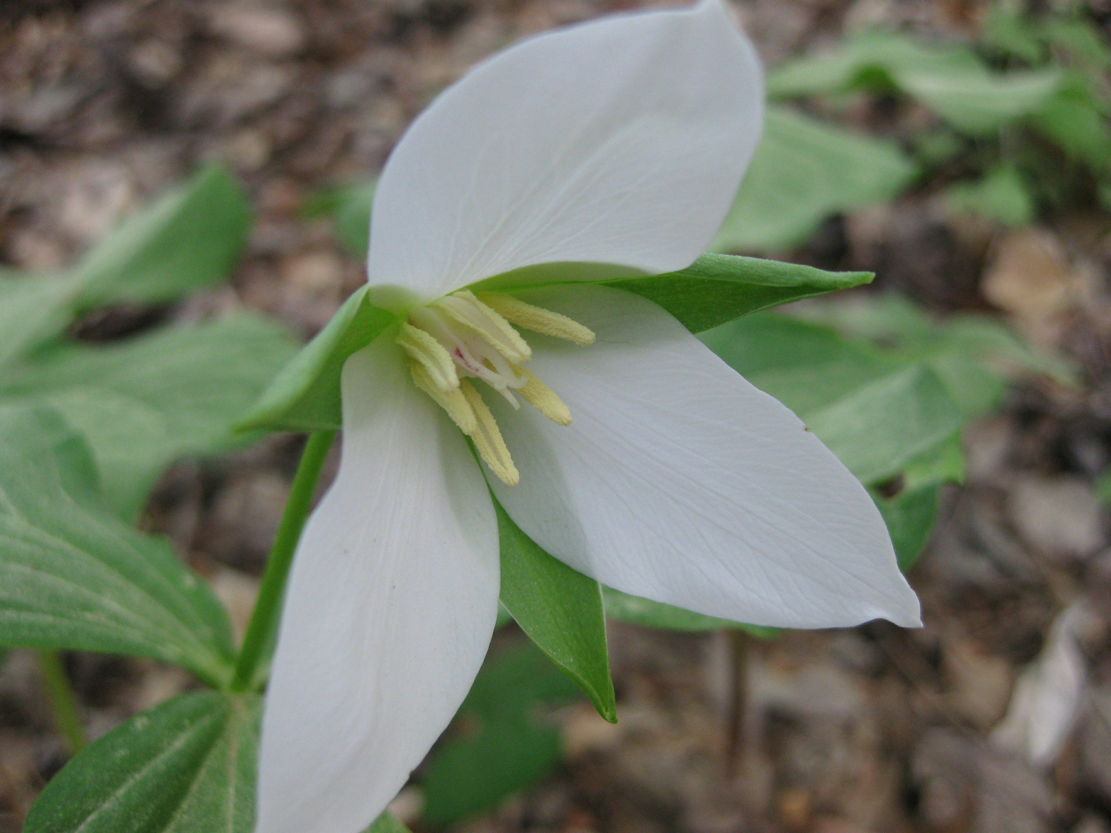 Trillium Pics North Carolina Native Plant Society