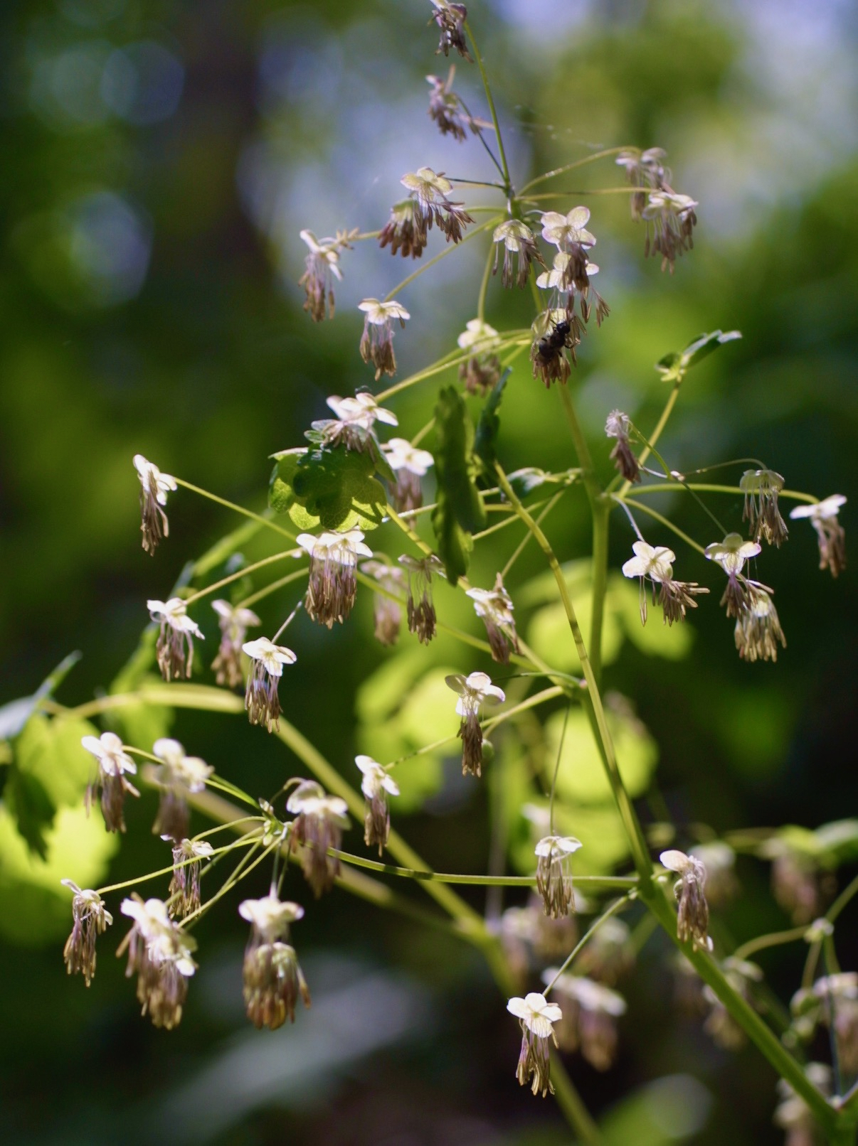 The Scientific Name is Thalictrum dioicum. You will likely hear them called Early Meadowrue, Early Meadow-rue. This picture shows the Male flowers with pale sepals and dangling anthers of Thalictrum dioicum