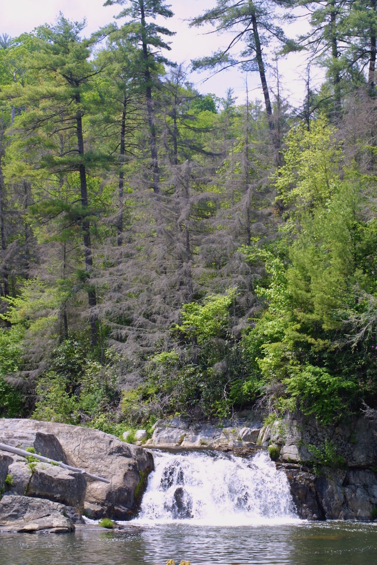 The Scientific Name is Tsuga canadensis. You will likely hear them called Eastern Hemlock, Canada Hemlock, Canadian Hemlock. This picture shows the Trees killed by the Hemlock Woolly Adelgid of Tsuga canadensis
