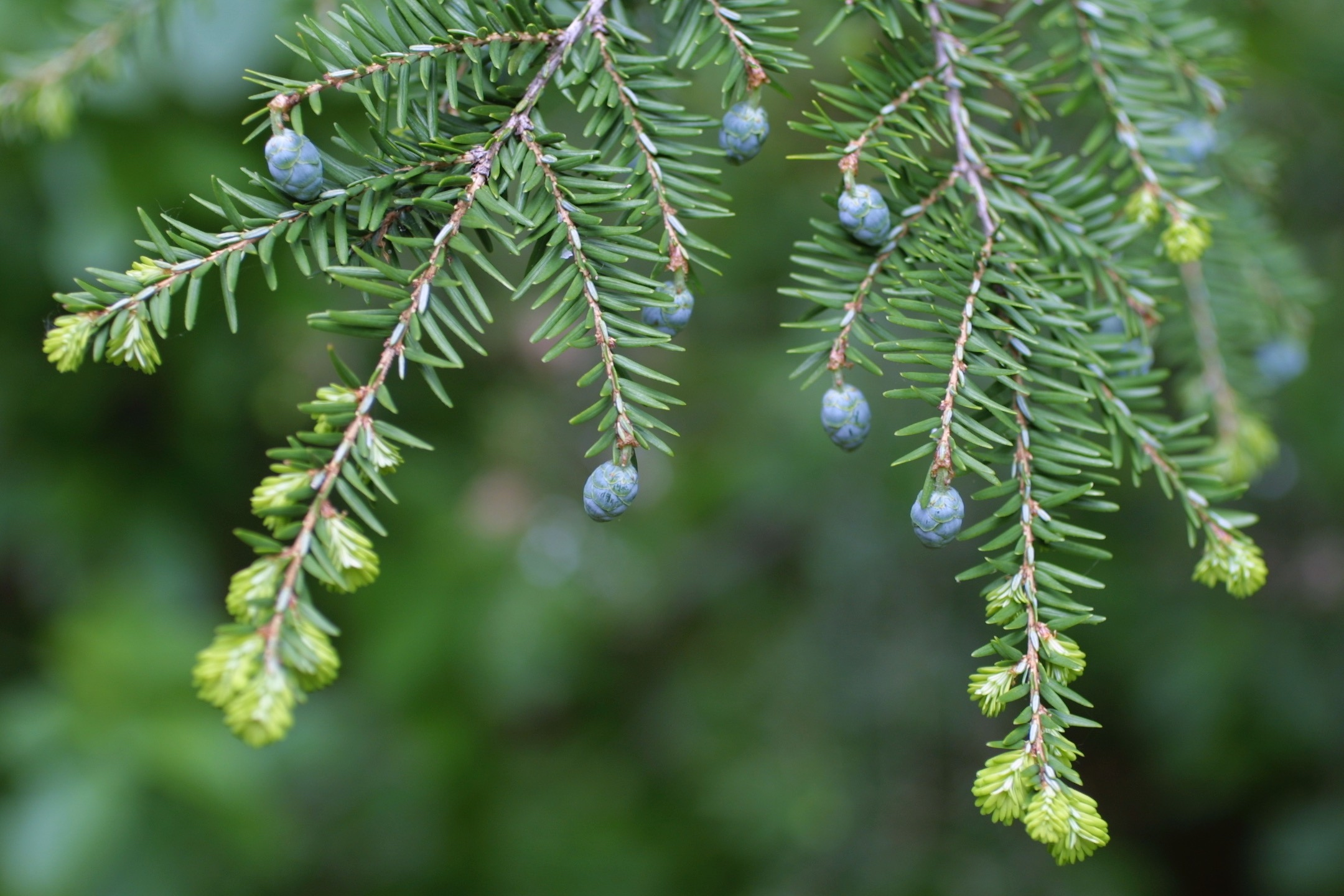 The Scientific Name is Tsuga canadensis. You will likely hear them called Eastern Hemlock, Canada Hemlock, Canadian Hemlock. This picture shows the Flat, two-ranked needles, with new cones of Tsuga canadensis