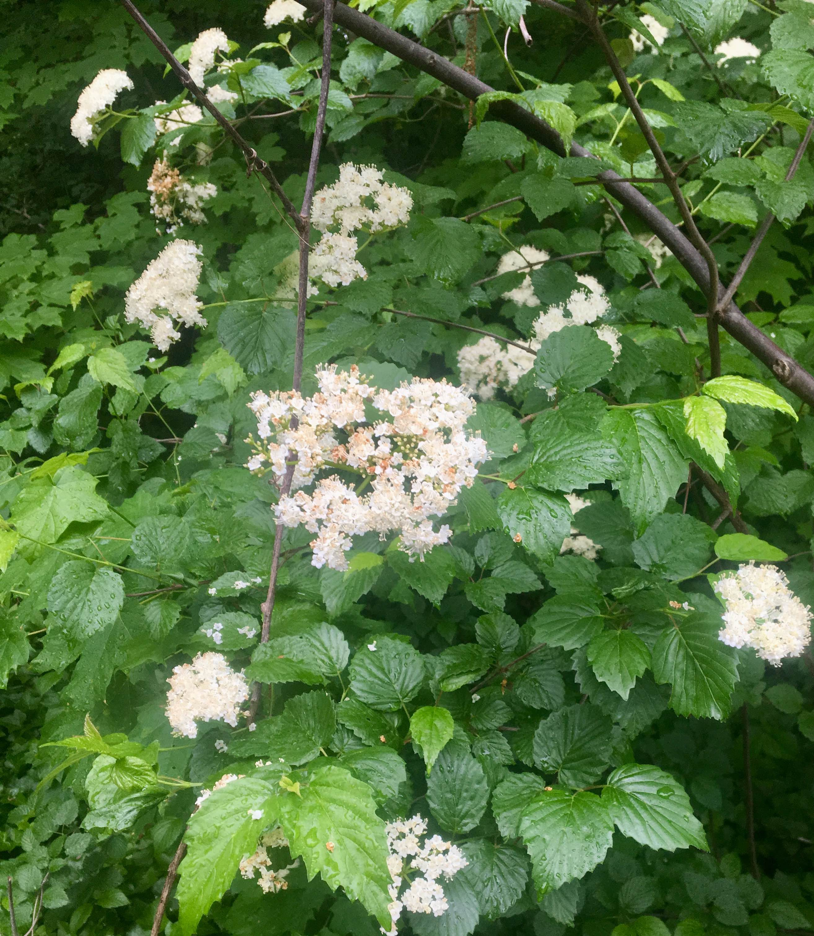 The Scientific Name is Viburnum dentatum. You will likely hear them called Southern Arrowwood, Arrowwood Viburnum, Roughish Arrowwood, Smooth Arrowwood. This picture shows the Opposite, coarsely toothed leaves and showy flat-topped clusters of white flowers of Viburnum dentatum