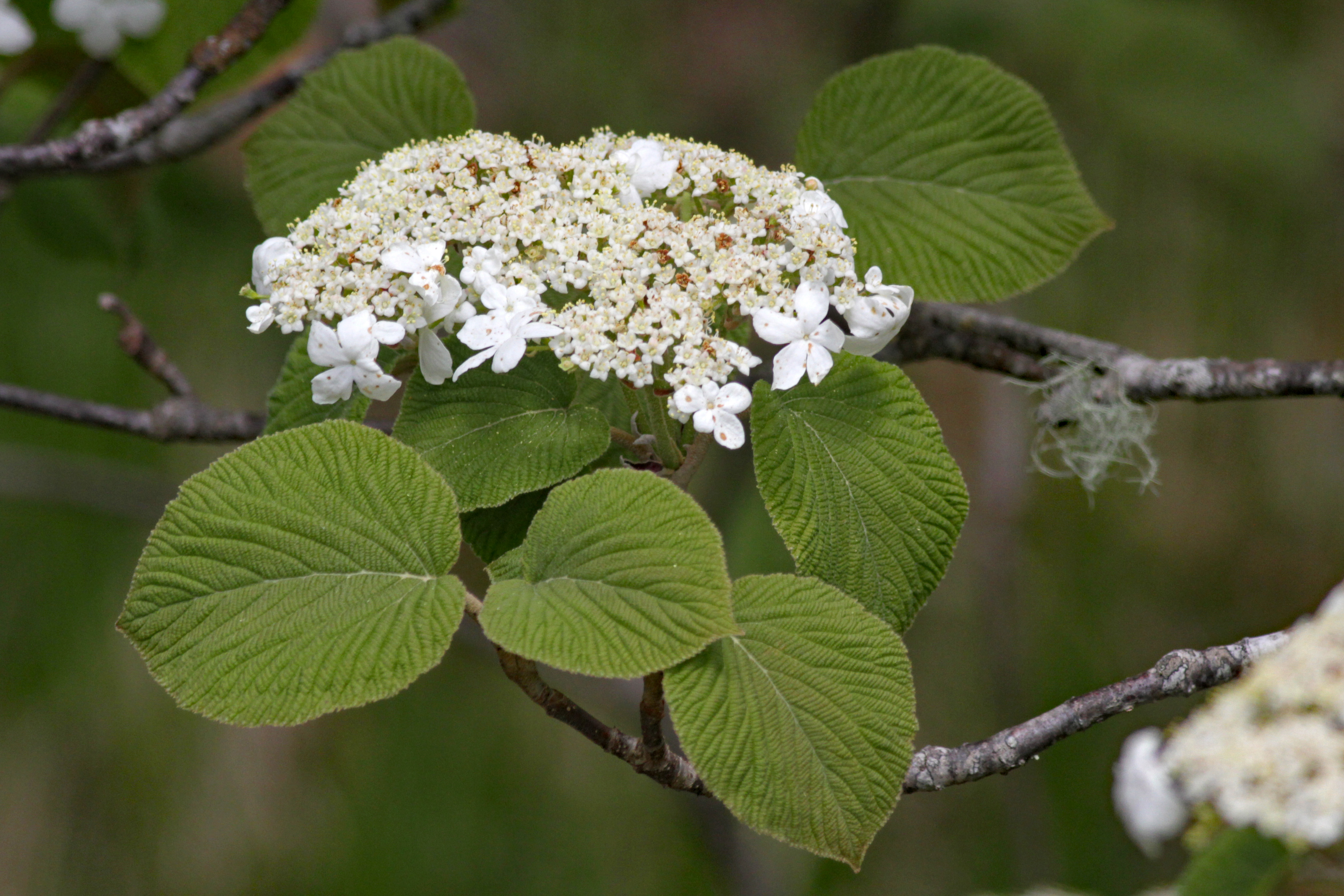 The Scientific Name is Viburnum lantanoides [= Viburnum alnifolium]. You will likely hear them called Hobble-bush, Witch-hobble, Moosewood. This picture shows the The inflorescence is a flat-topped cluster of small fertile flowers surrounded by larger, showy, white, sterile flowers. of Viburnum lantanoides [= Viburnum alnifolium]