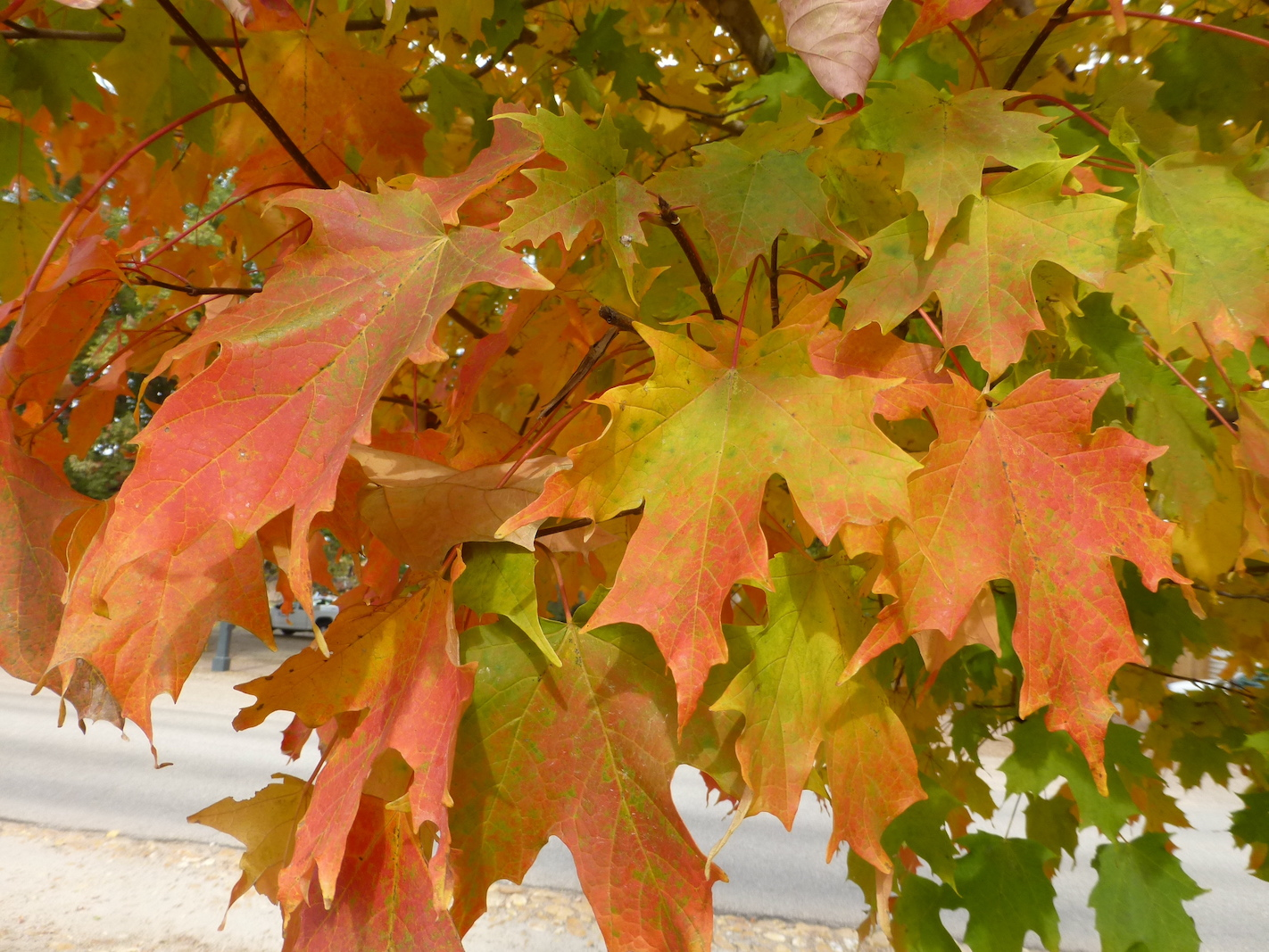 The Scientific Name is Acer saccharum. You will likely hear them called Northern Sugar Maple, Hard Maple, Sugar Tree. This picture shows the A cultivated specimen at Colonial Williamsburg, VA of Acer saccharum