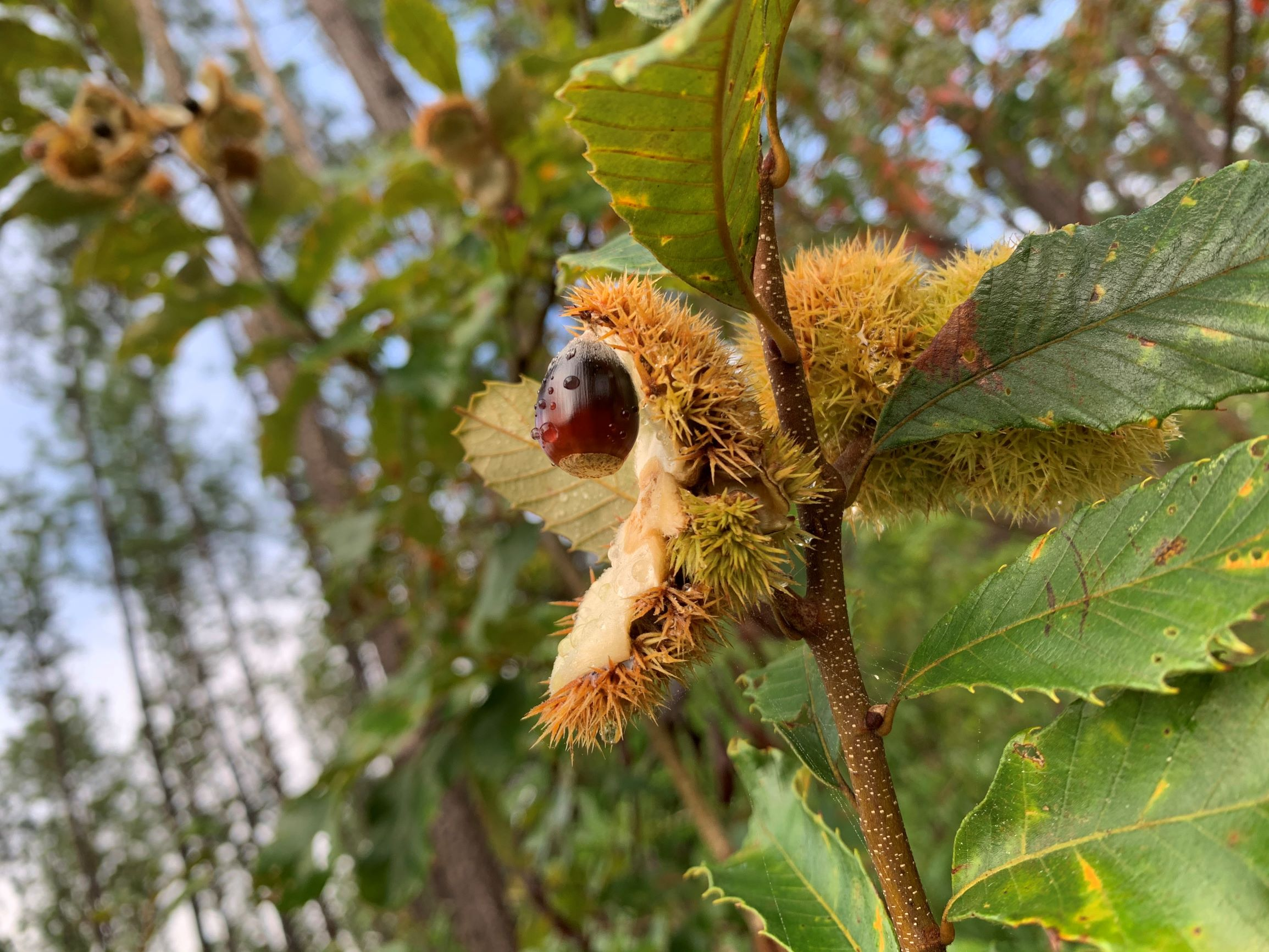 The Scientific Name is Castanea pumila. You will likely hear them called Common Chinquapin, Allegheny Chinquapin, Chinkapin, Dwarf Chinquapin. This picture shows the Excerpted from Flora of the Southeastern United States, Alan Weakley, 20 October 2020