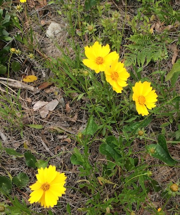 The Scientific Name is Coreopsis lanceolata. You will likely hear them called Longstalk Coreopsis, Lance-leaved Tickseed, Lanceleaf Coreopsis. This picture shows the Blooms and Buds of Coreopsis lanceolata