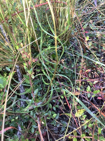 The Scientific Name is Gentiana autumnalis. You will likely hear them called Pinebarren Gentian, Autumn Gentian. This picture shows the Leaves of Gentiana autumnalis