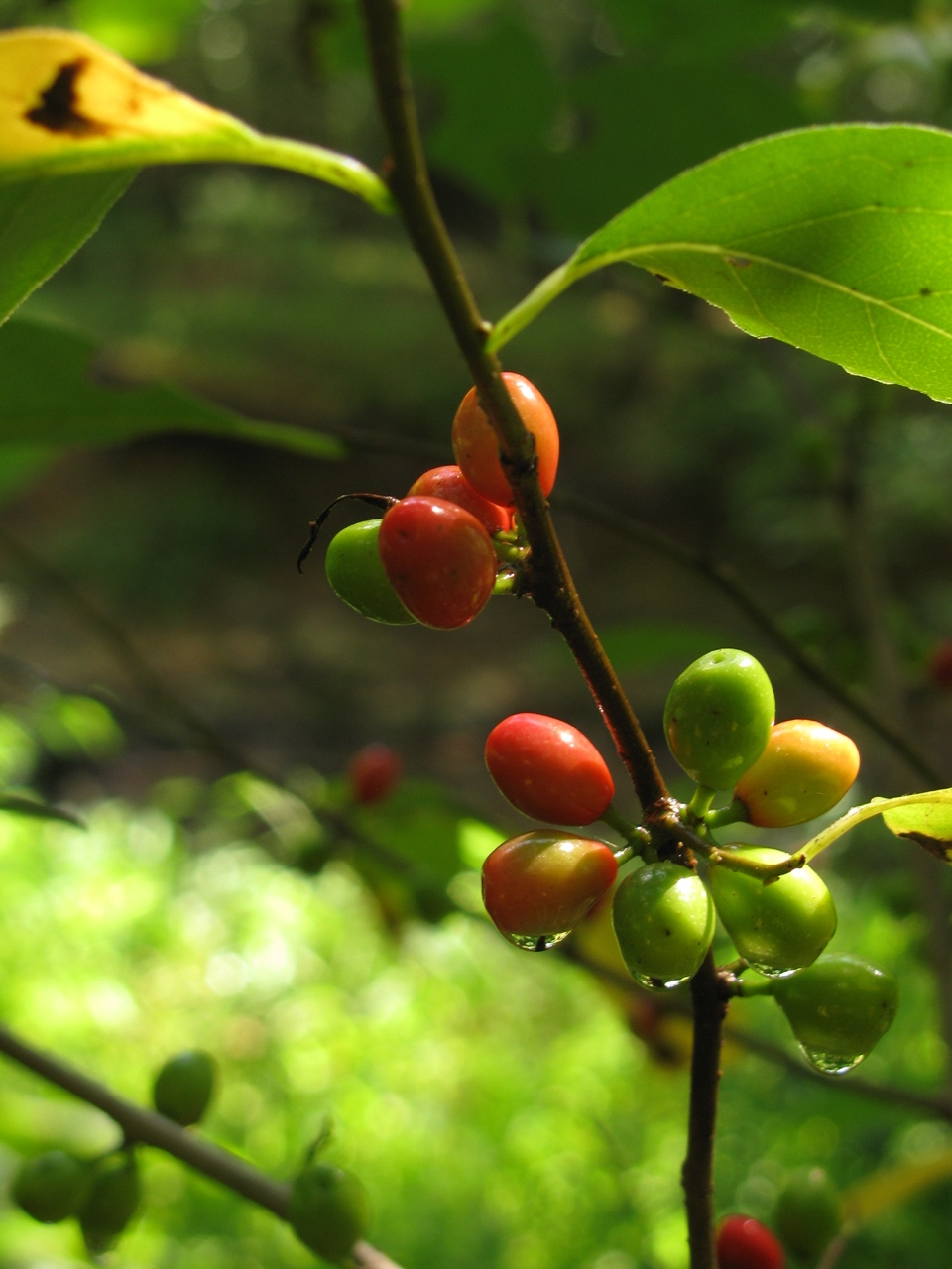The Scientific Name is Lindera benzoin. You will likely hear them called Northern Spicebush. This picture shows the Fruit of Lindera benzoin in August of Lindera benzoin