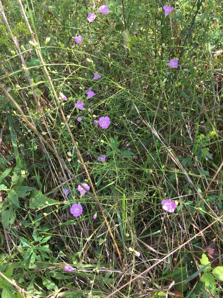 Algalinis purpurea - Gerardia