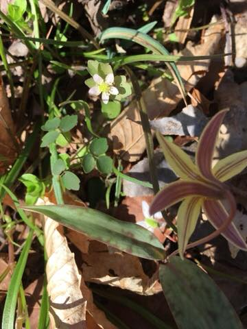 Rue Anemone (Anemonella thalictroides) and trout lily