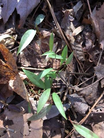 trout lily (seedlings)