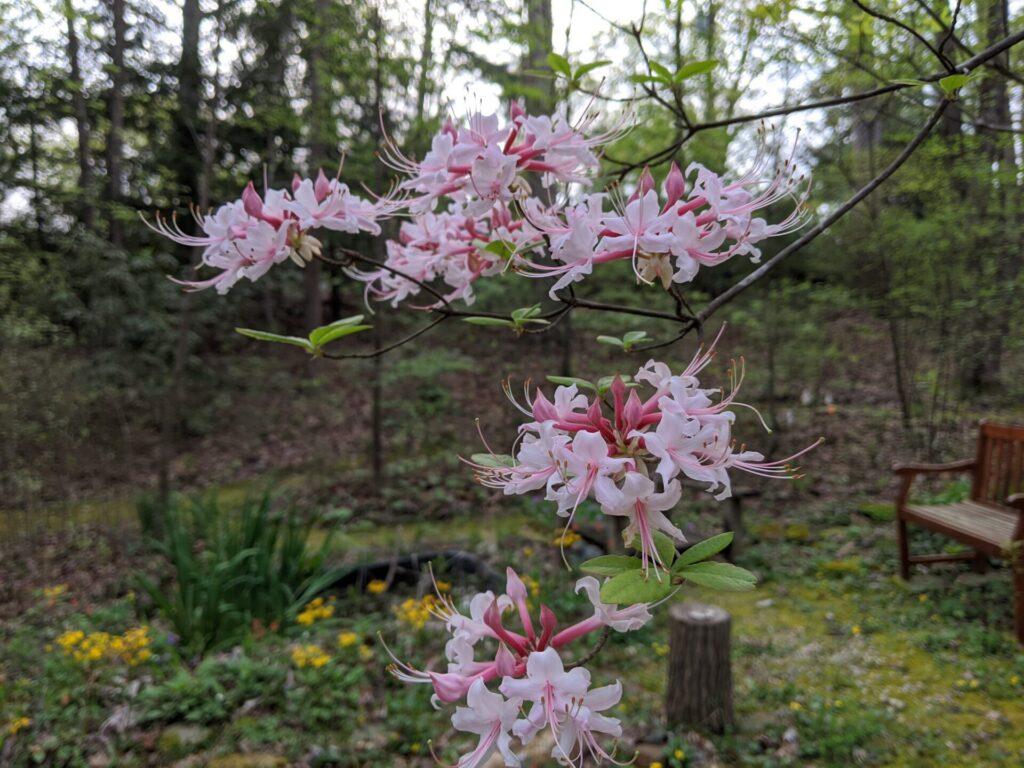 Piedmont Azalea (Rhododendron canescens)