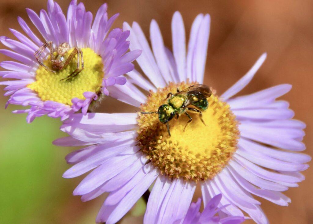 Bee on Robin's plantain