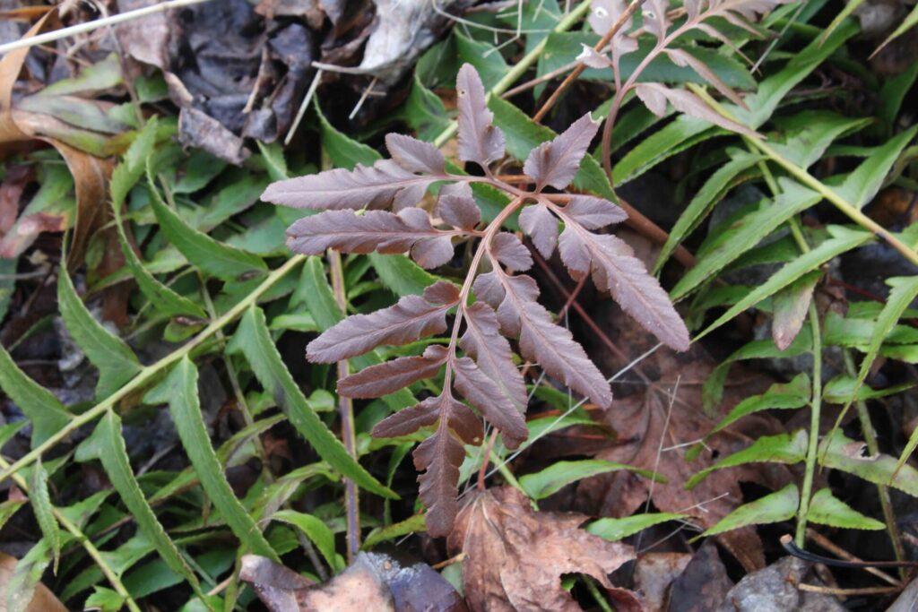 photo of red grape fern