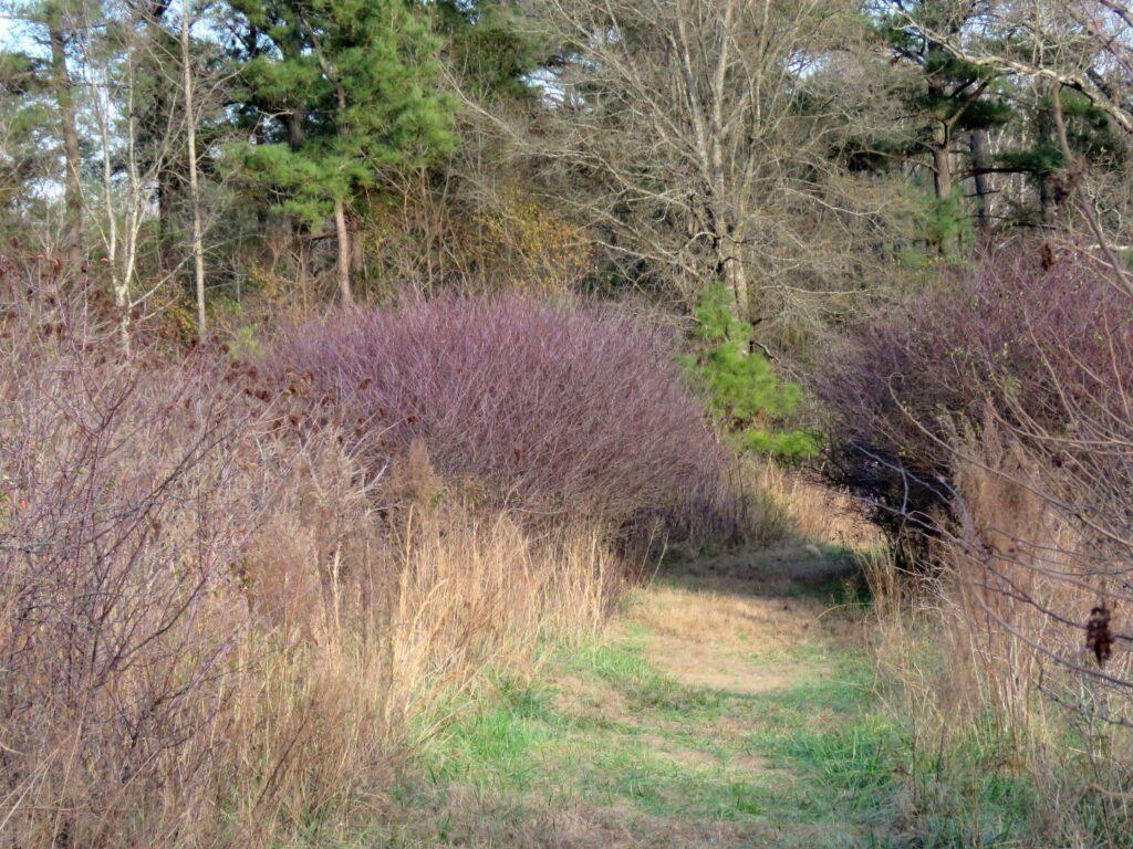 Chickasaw Plum grove