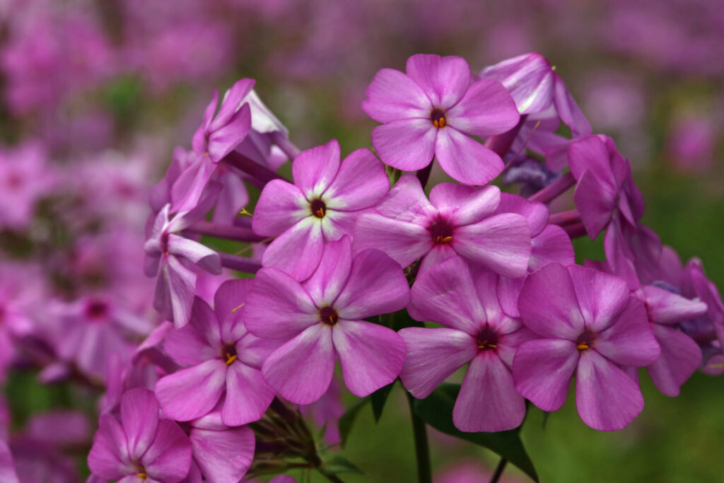 Phlox carolina Blossom